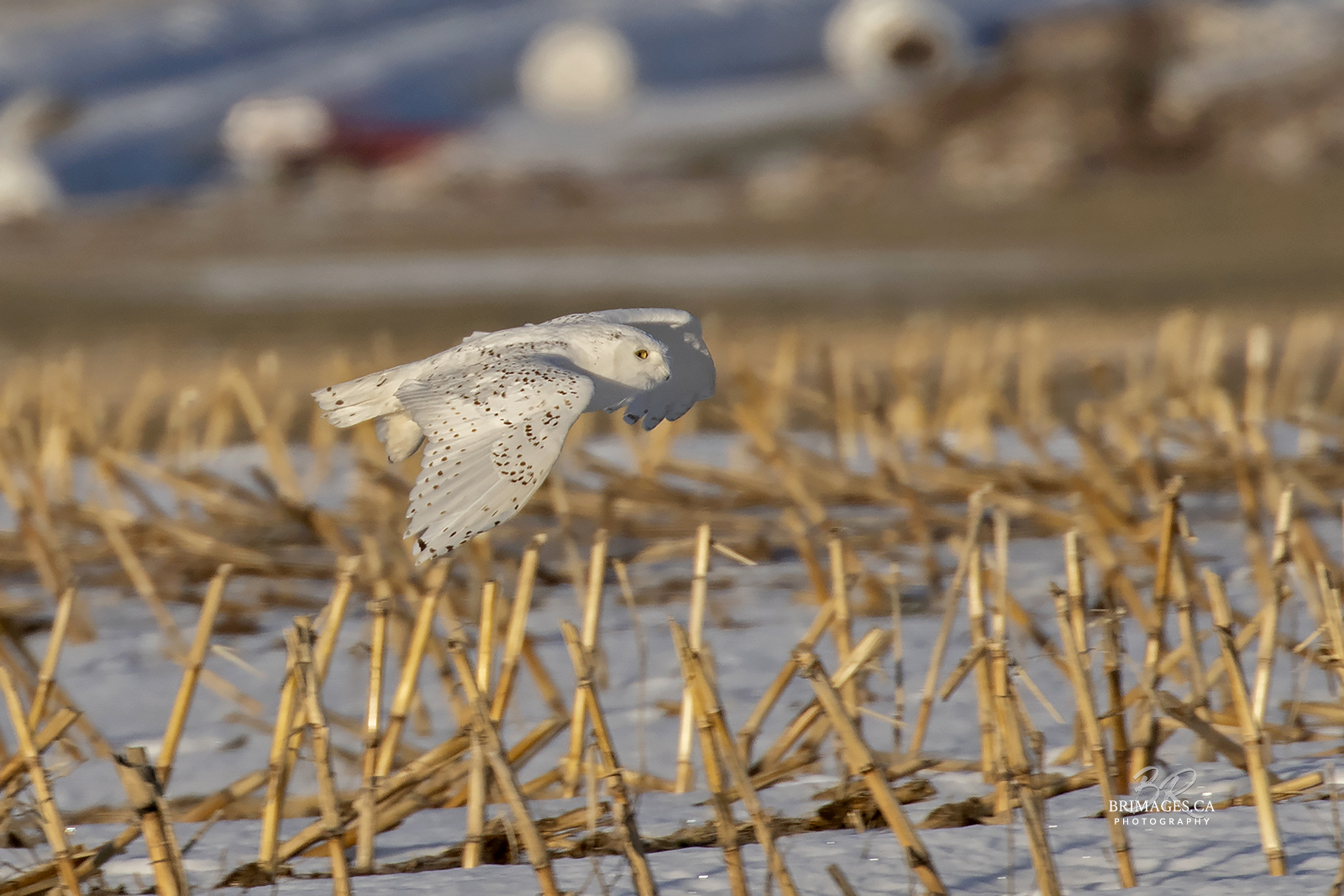 snowy-owl-in-flight-new-brunswick-2-BRimages.ca