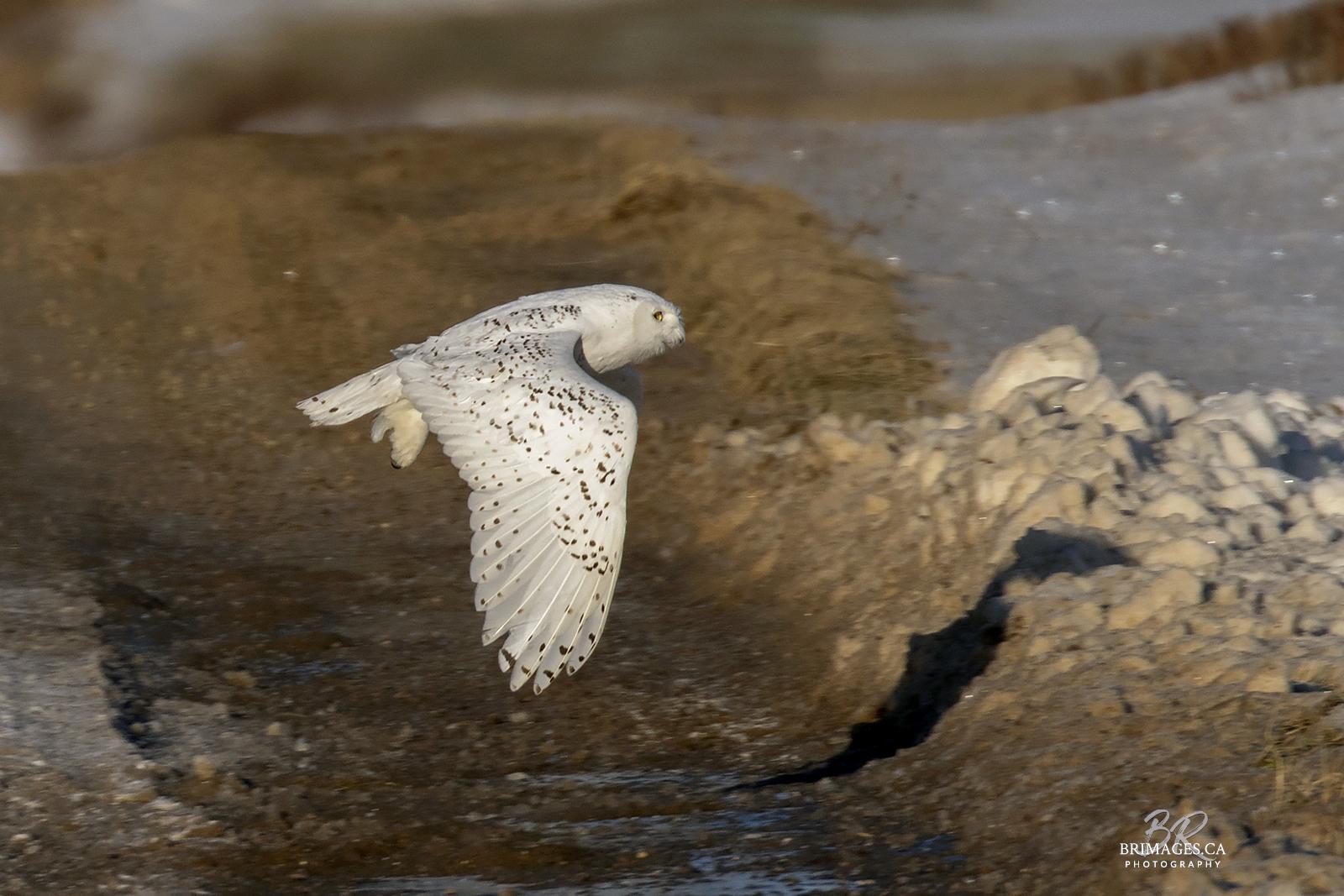 snowy-owl-in-flight-new-brunswick-3-BRimages.ca