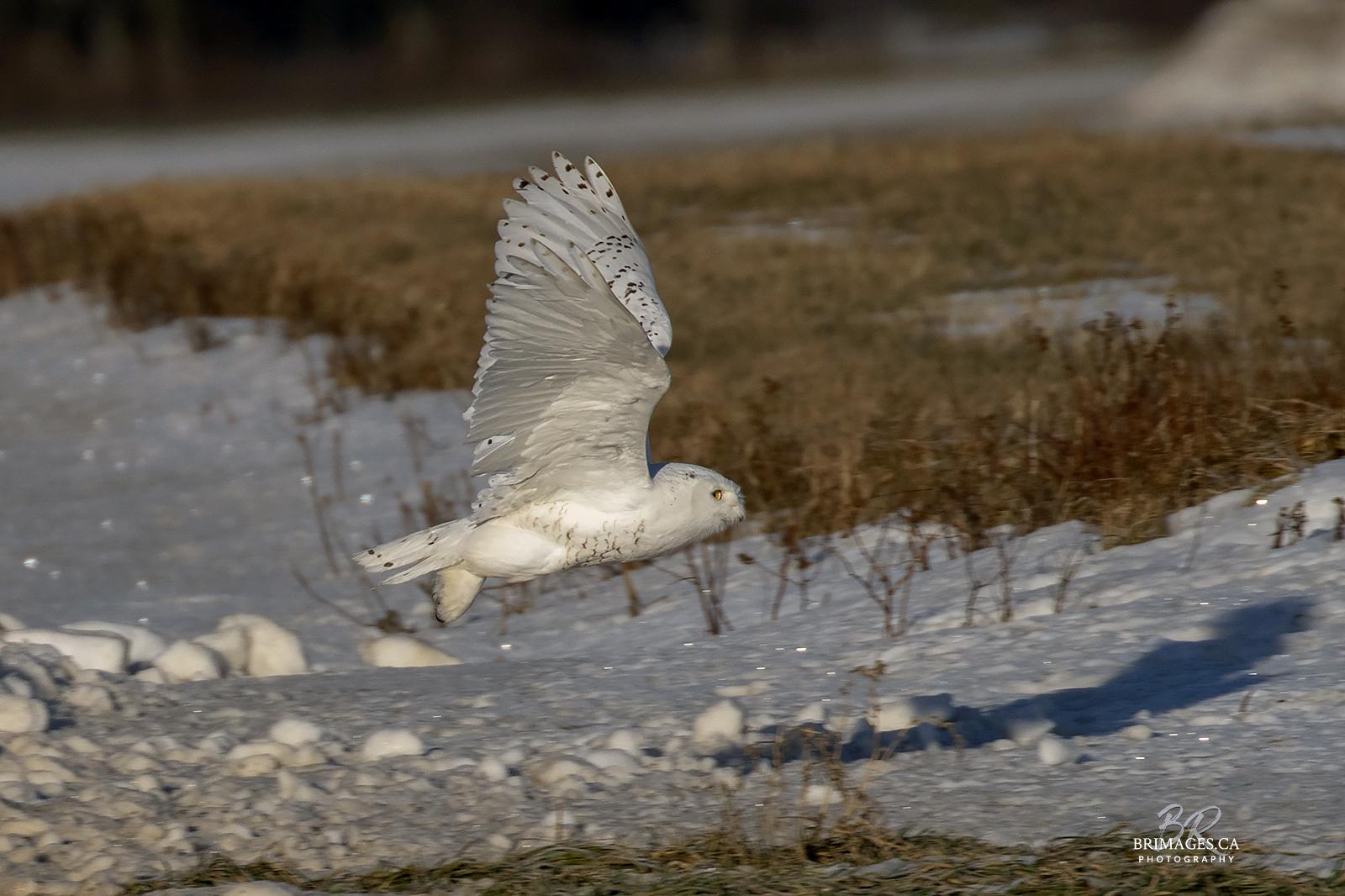 snowy-owl-in-flight-new-brunswick-4-BRimages.ca