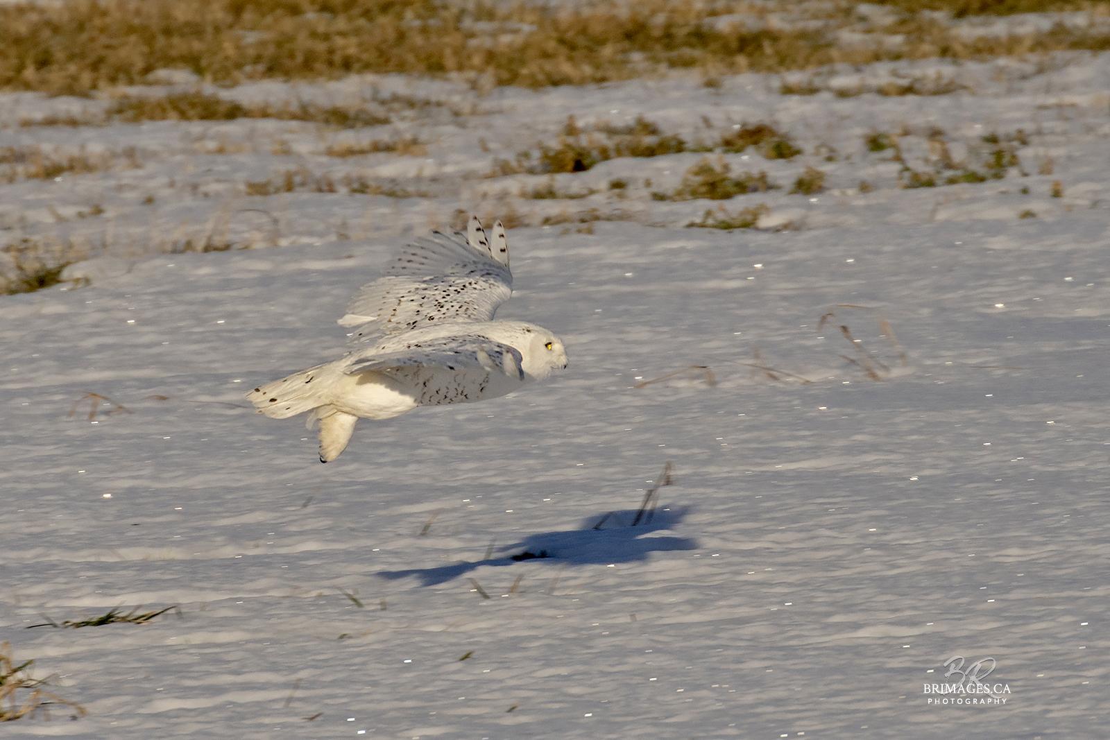snowy-owl-in-flight-new-brunswick-5-BRimages.ca