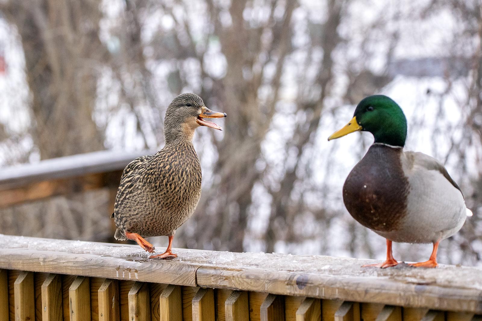 mallard-ducks-squabble-BRimages.ca