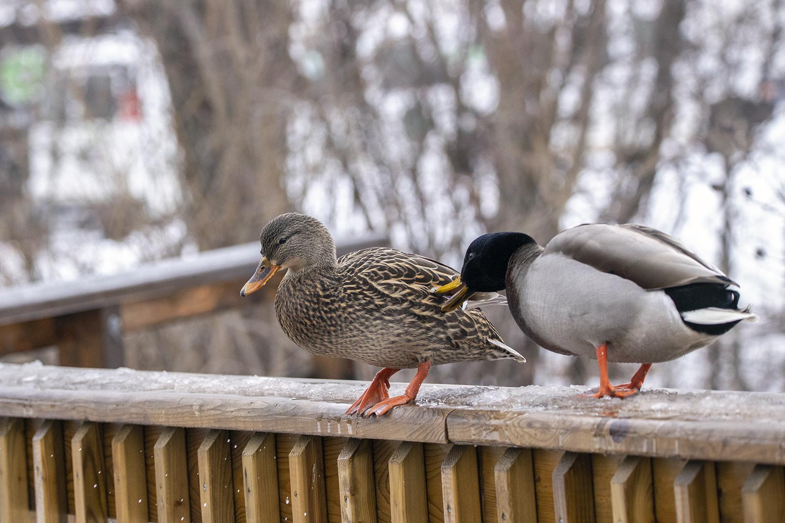 mallard-ducks-squabble-2-BRimages.ca
