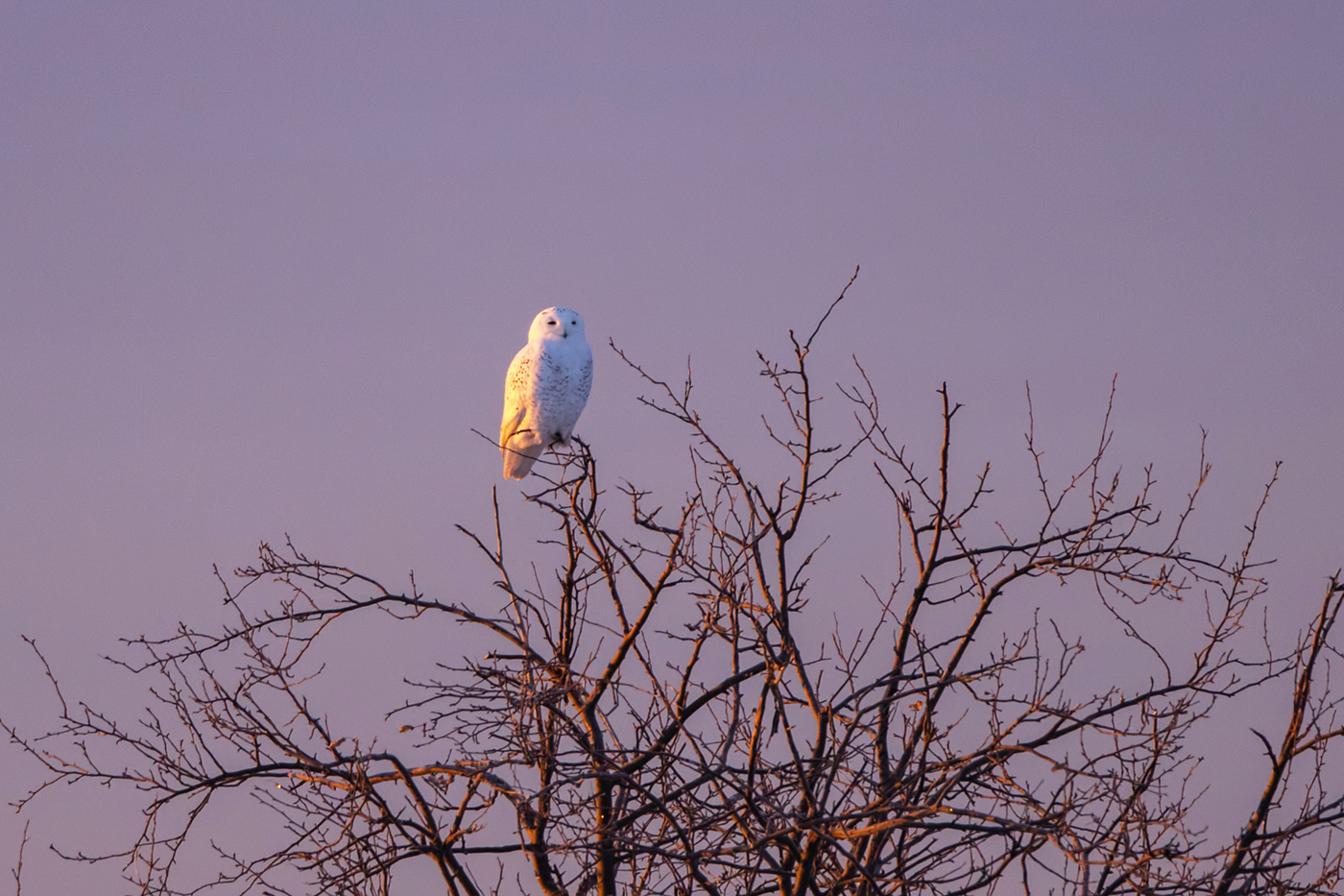 snowy-owl-winter-sunrise-new-brunswick-2-BRimages.ca