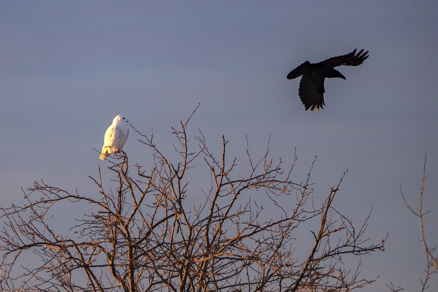 snowy-owl-crow-sunrise-new-brunswick-BRimages.ca