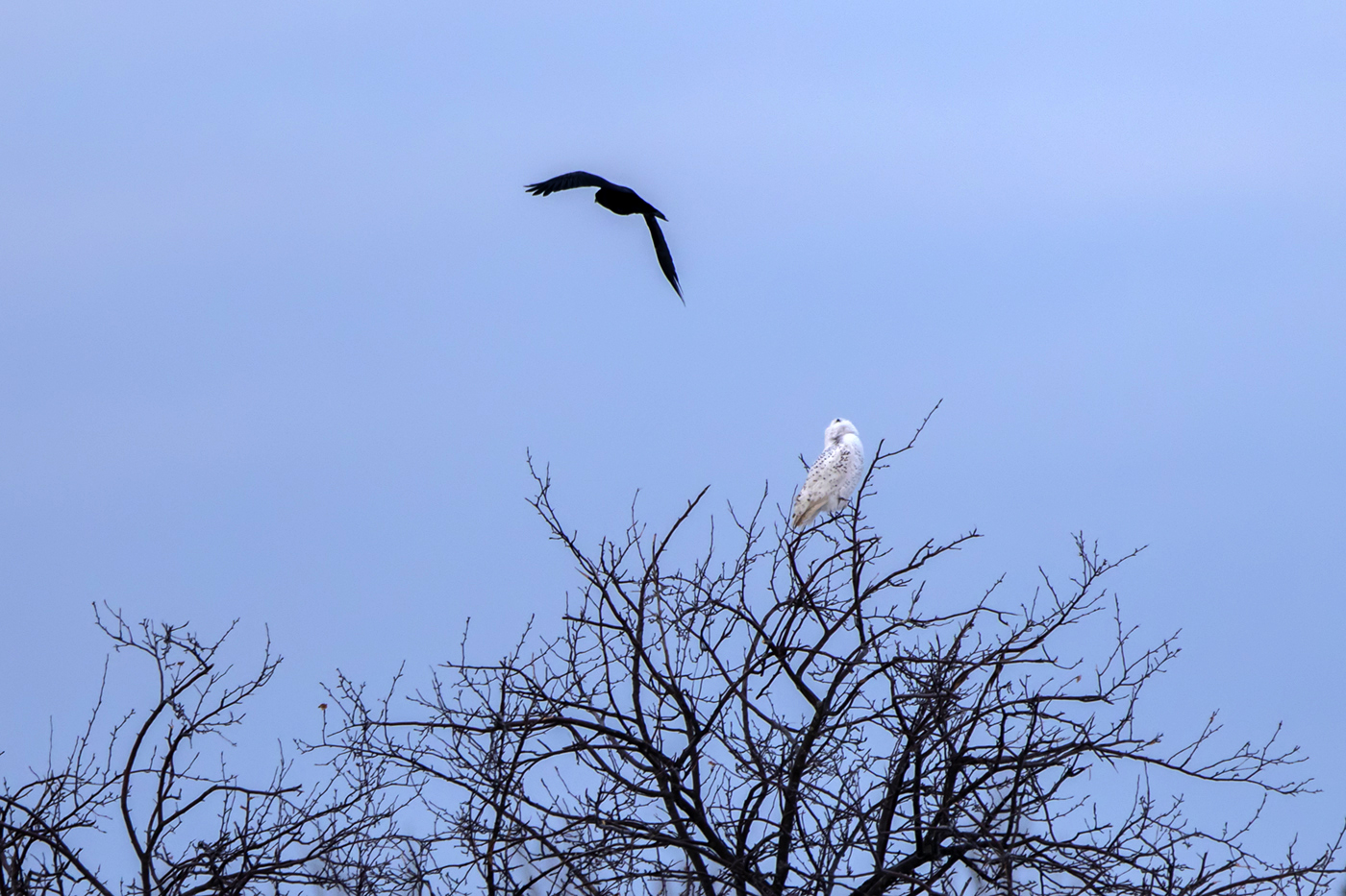 snowy-owl-crow-sunrise-new-brunswick-2-BRimages.ca