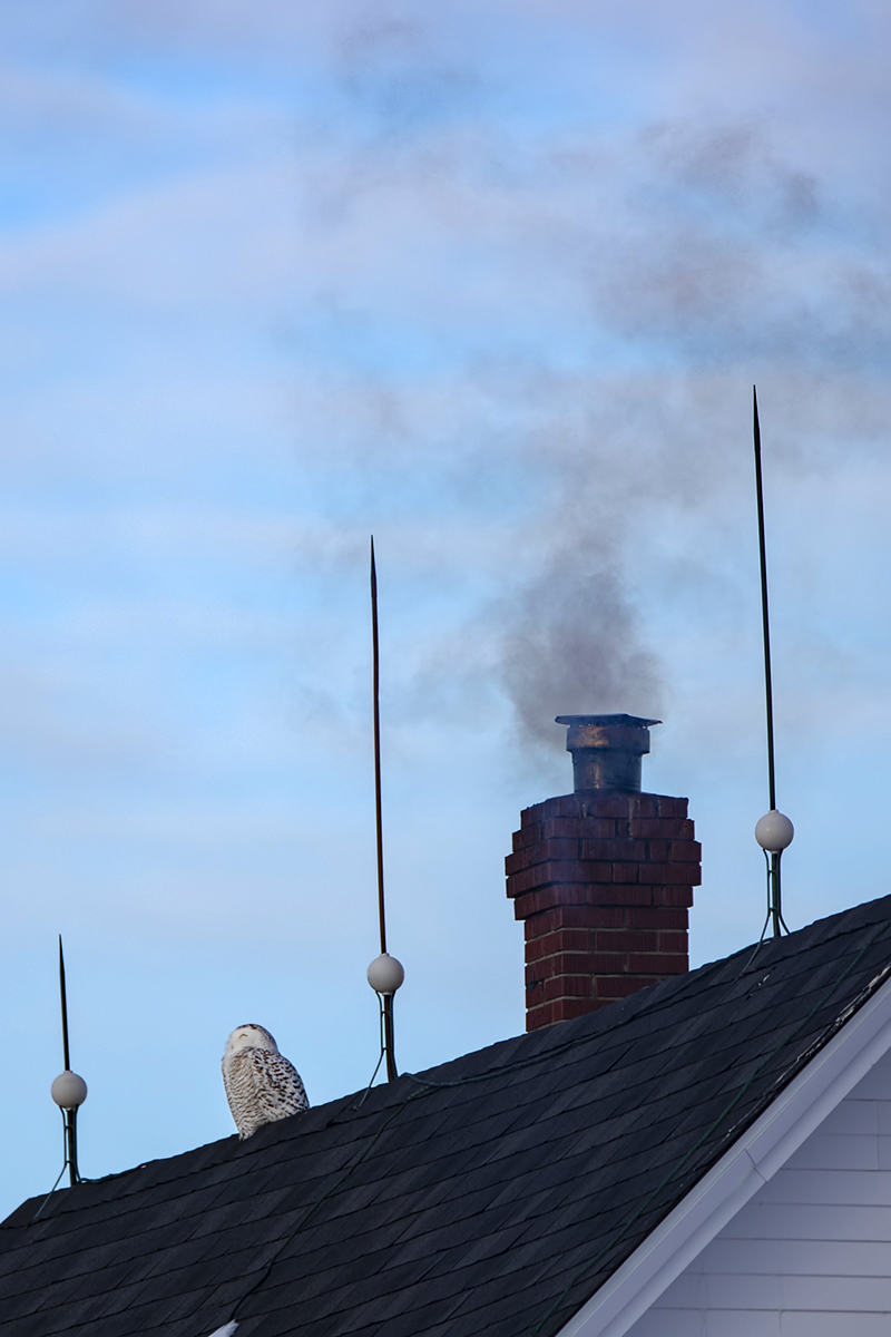 snowy-owl-rooftop-chimney-new-brunswick-BRimages.ca