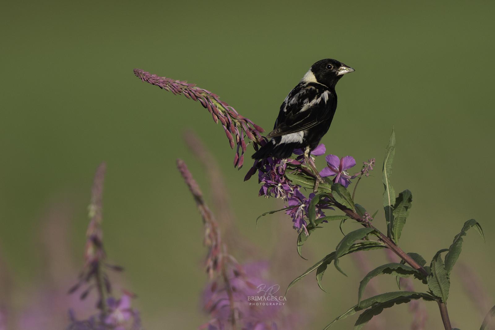 bobolink-fireweed-BRimages.ca (2)