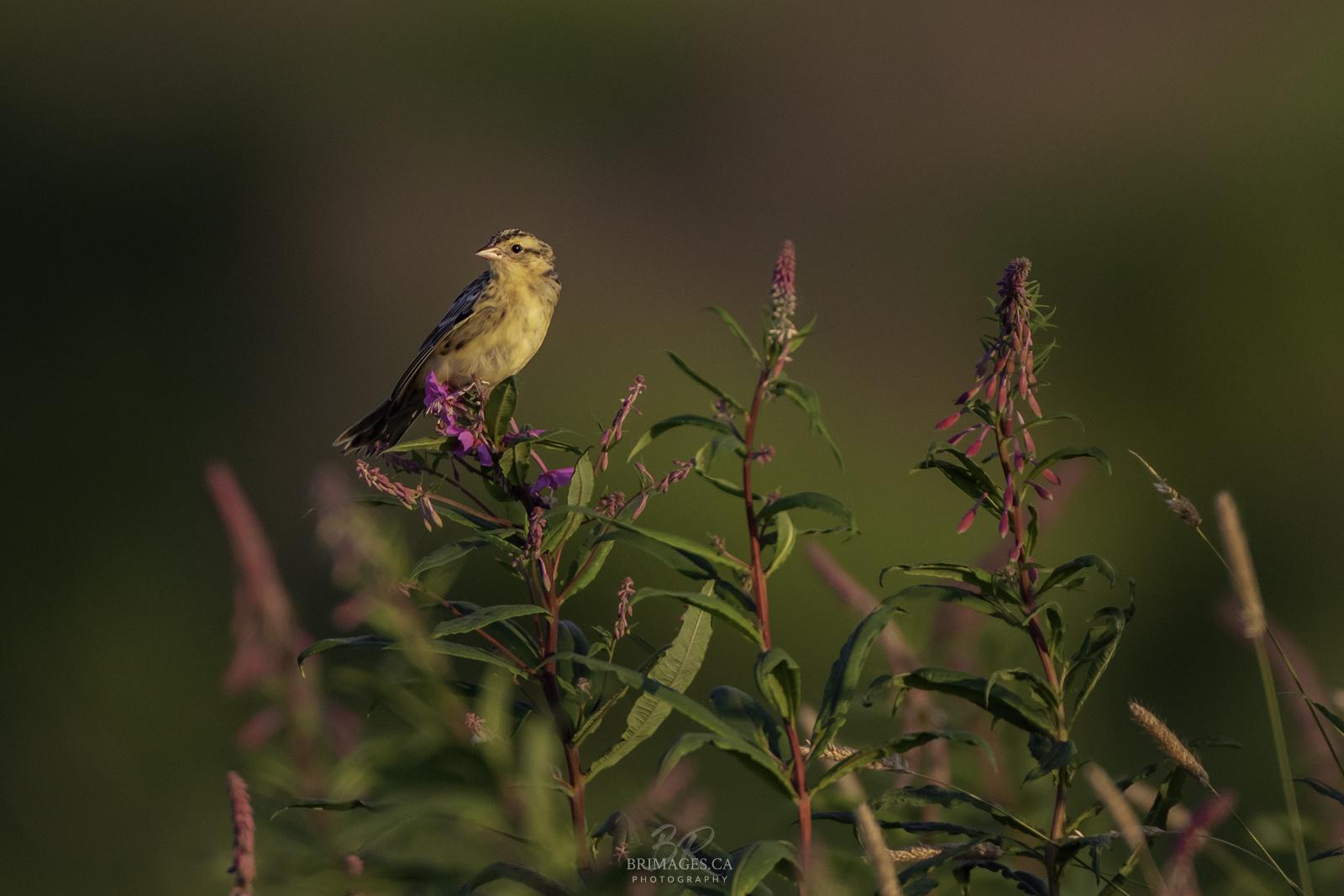 bobolink-fireweed-BRimages.ca (3)