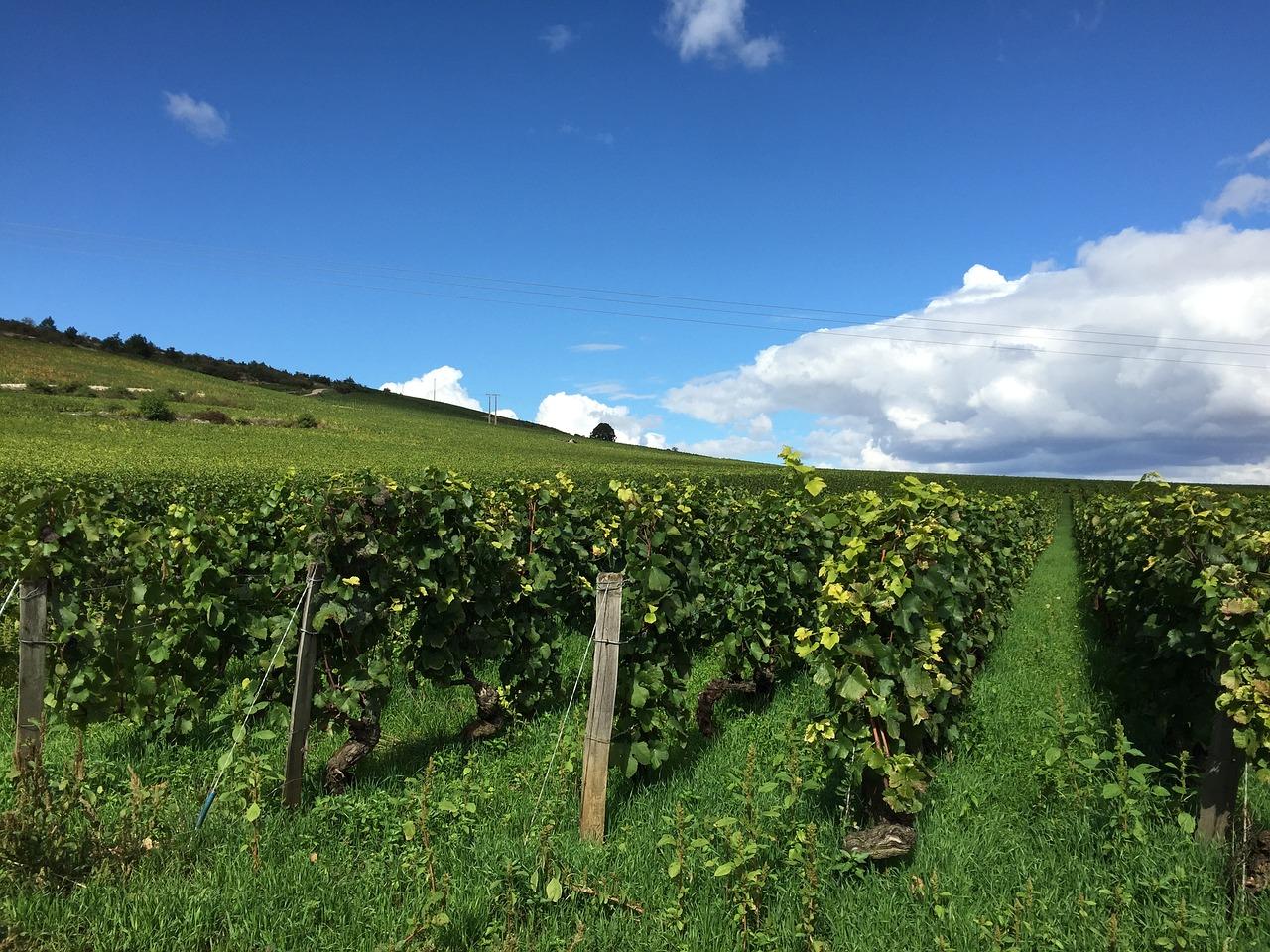 vineyard-1610271_1280.jpg