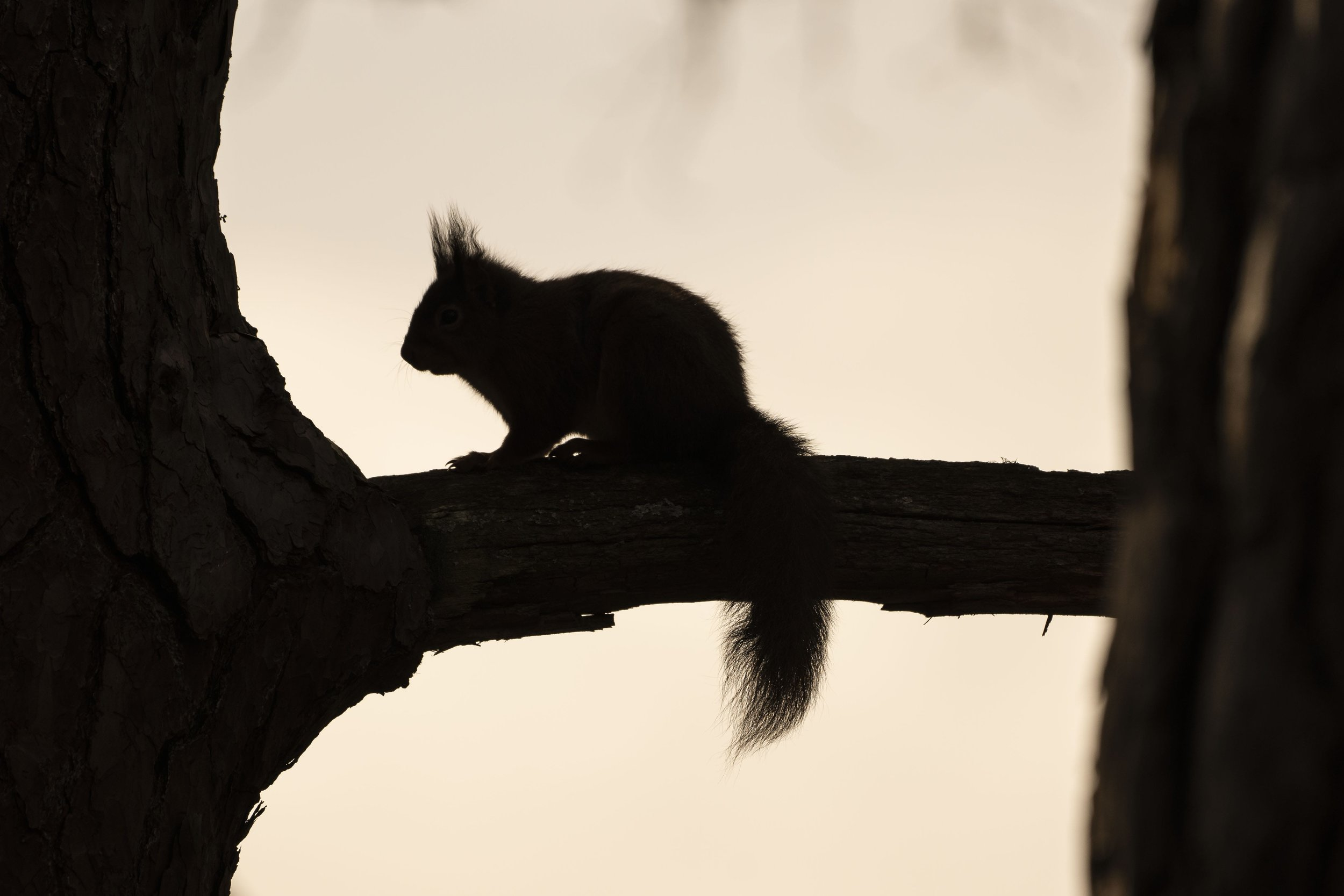 Red Squirrel Photography Conservation Reintroduction Silhouette