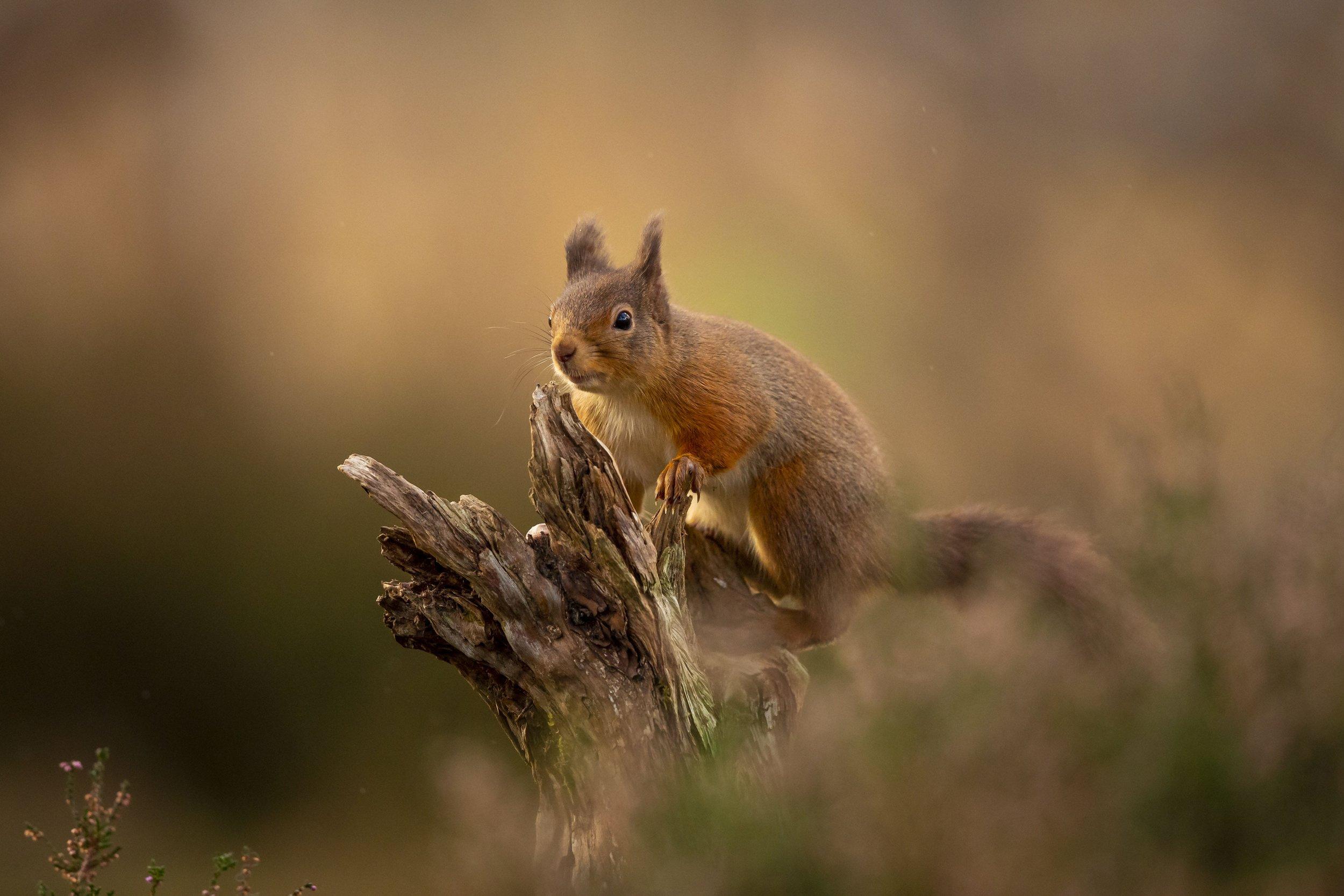 Red Squirrel portrait conservation golden British wildlife reintroduction