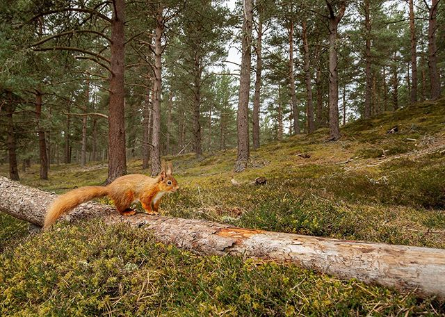 "I've posted this one before but figured I should post it again... this week I'll be posting images from my ""red squirrel - road to reintroduction"" story which was announced to be the @naturebftb x @wildscreenorg photo story competition winner this past weekend.  Woodland resident:  The red squirrel was once a common woodland resident across the whole of the UK. Now only 120,000 remain, mostly in Scotland. The last red squirrel reported to have been seen in Cornwall was in 1984.  #squirrel #nutsaboutsquirrels #sony #BBCwildlifePOTD #sonyalpha #NatureTTL #discoverwildlife #bns_nature#animalelite #exclusive_animals #educateandinspire #exclusive_wildlife #ethicsbeforeimages #featuredwildlife #majestic_wildlife #nature_brilliance #naturelovers #nature_of_our_world #bestnatureshots"