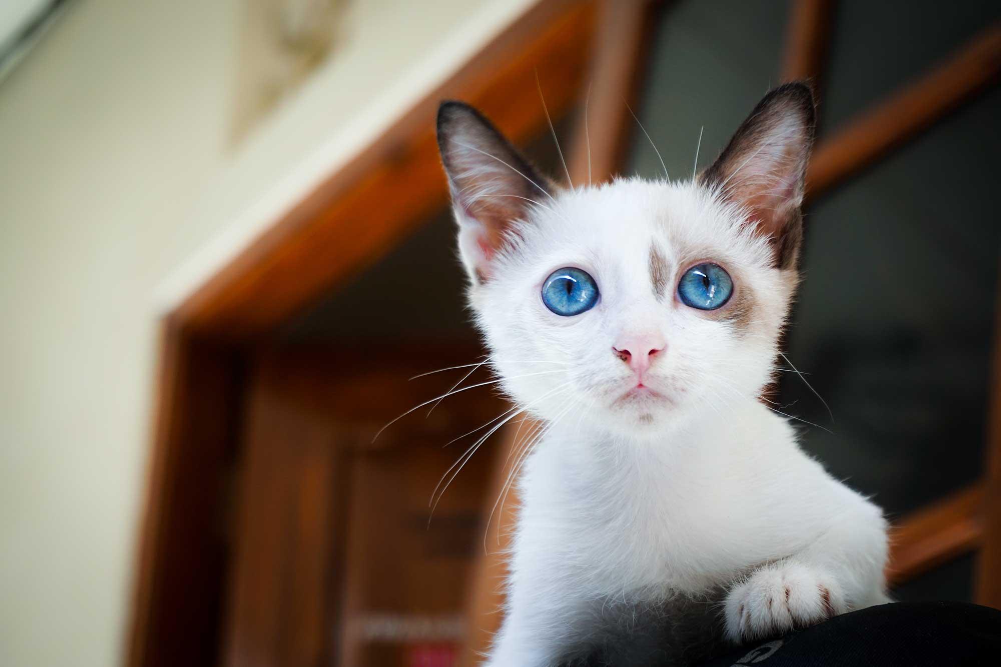 Blue Eyed White Cat