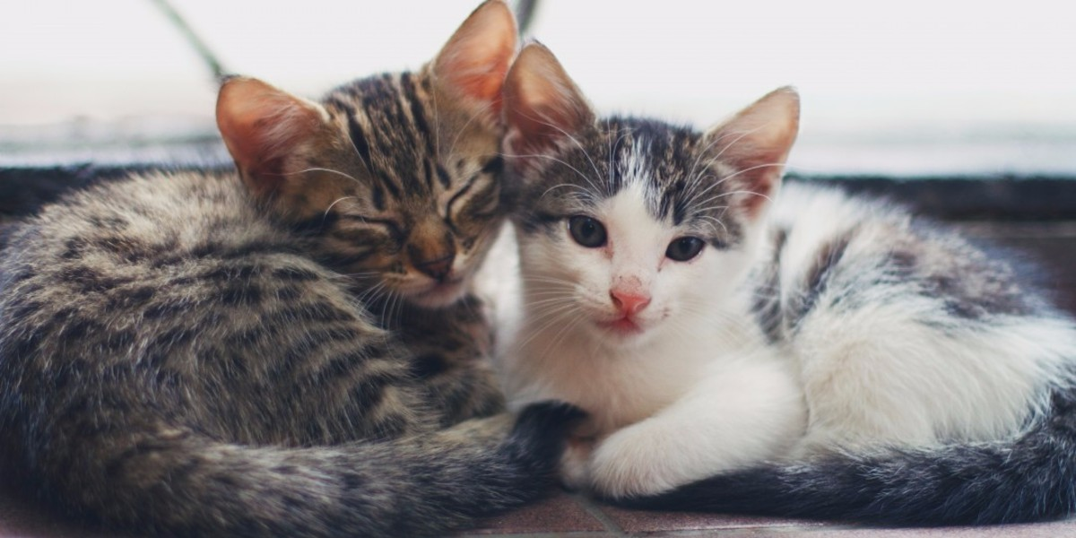 Kitten adoption policy - All you need to know before applying to adopt a kitten.