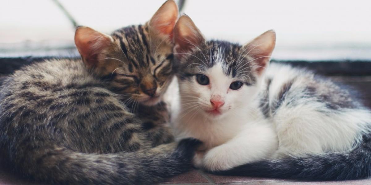 Kittens Adoption Policy — RSPCA Stourbridge & District Branch