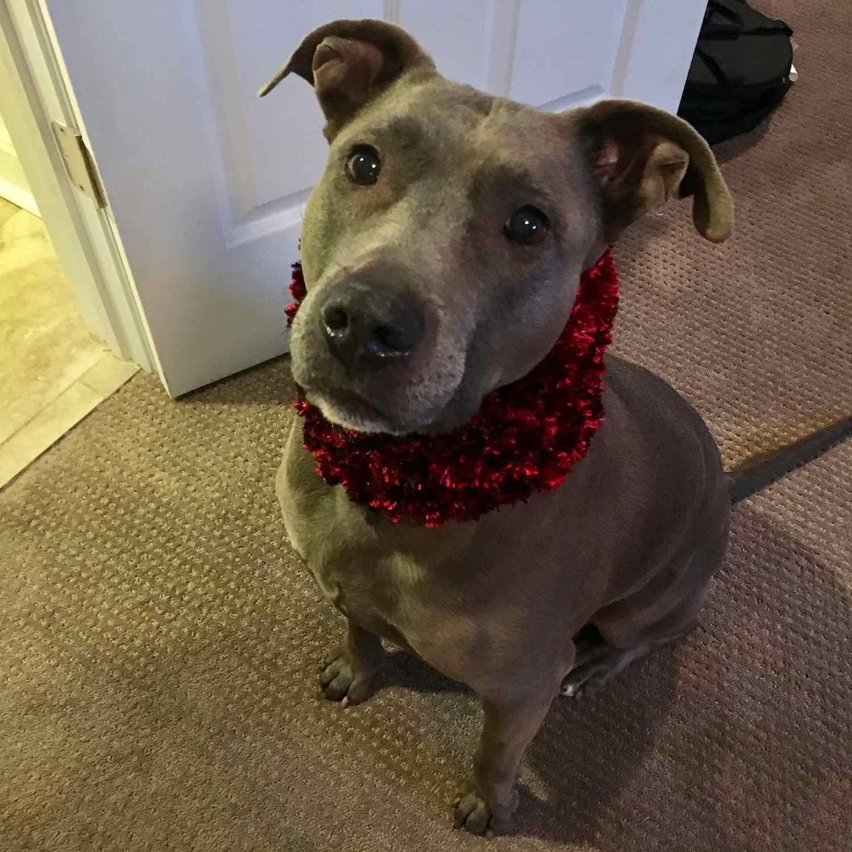 Sweet pitbull pupper, Blue.