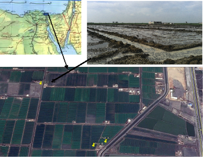 Experimental field and field with intermittent leaching (Egypt)