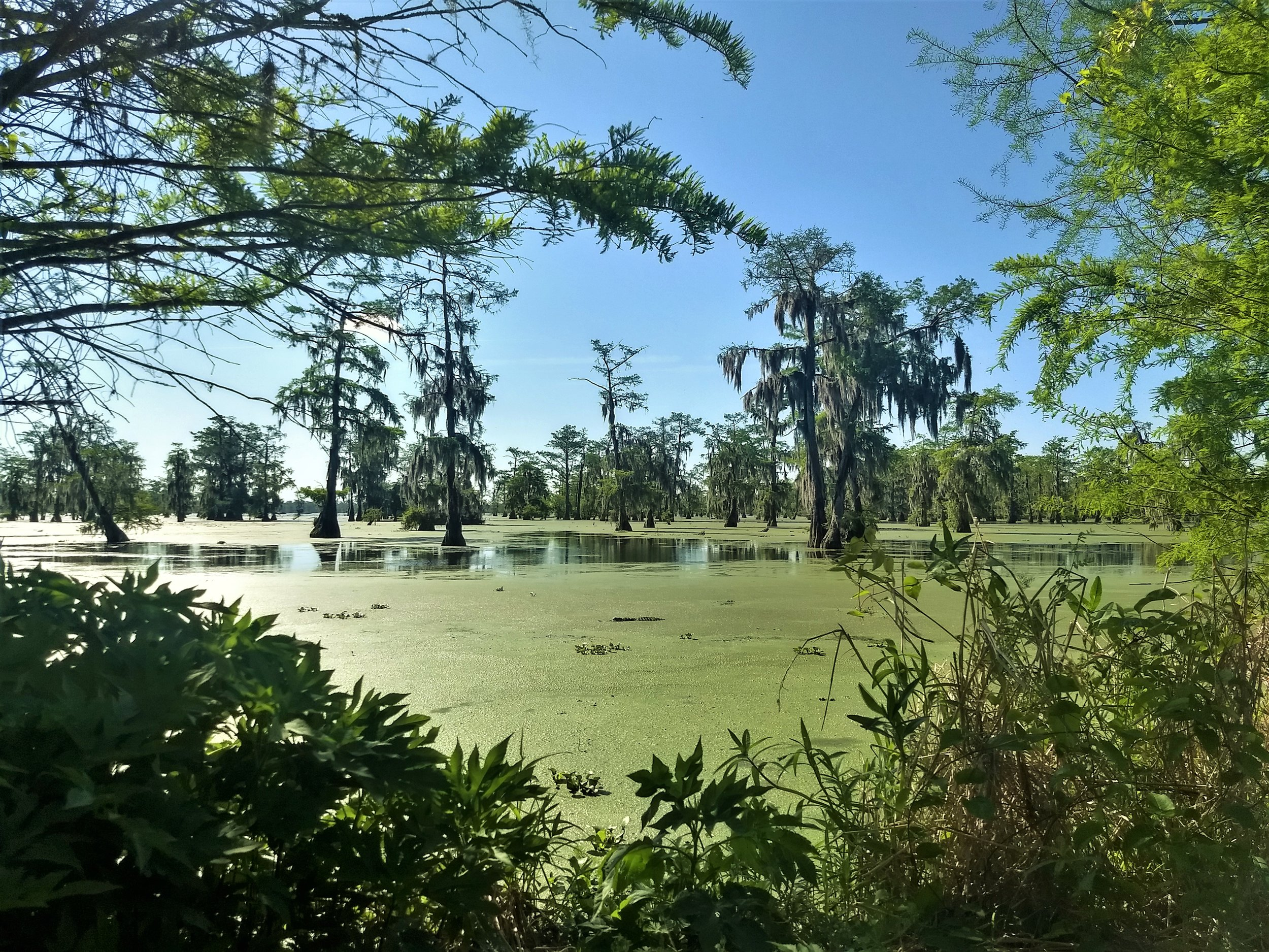 """The """"log"""" in the middle of the lake stares at us with reptilian indifference. Spanish Moss hangs from the trees all over the swamp."""