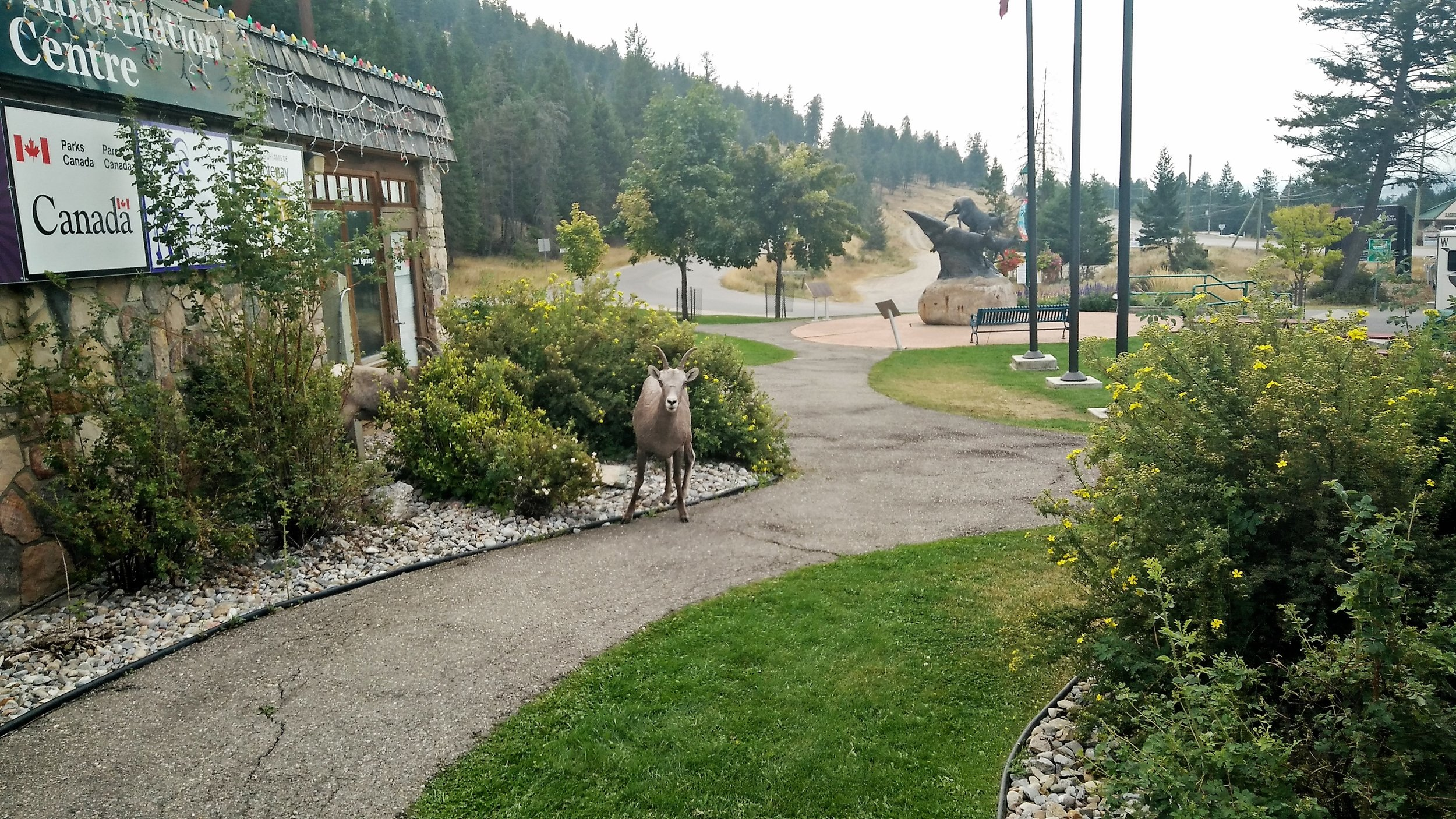 The natural wildlife we found in the town of Radium, where mountain goats wander the streets just like the tourists.