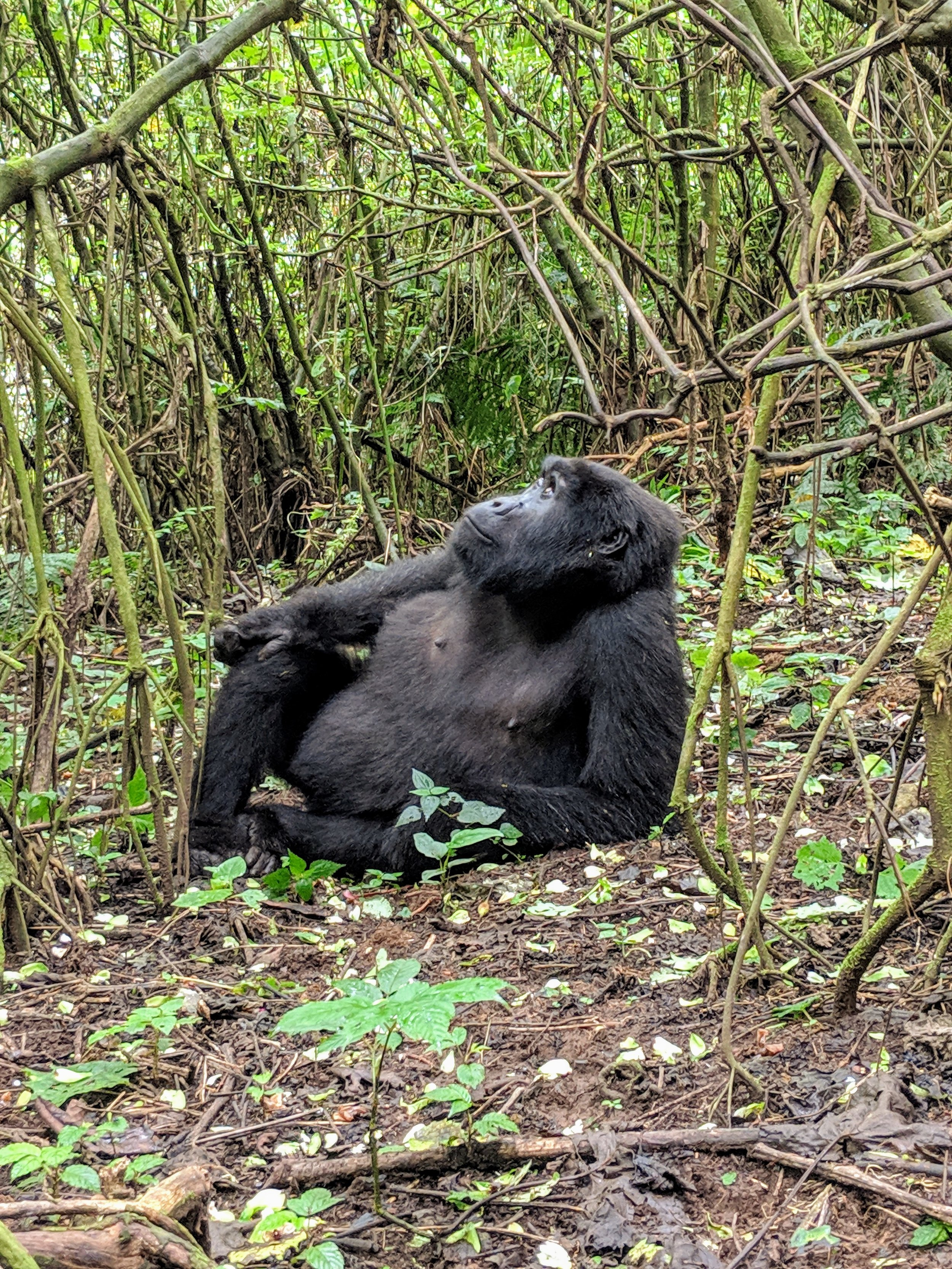 A wild mountain gorilla in Bwindi Impenetrable National Park. Photographer: Elisabeth Engl