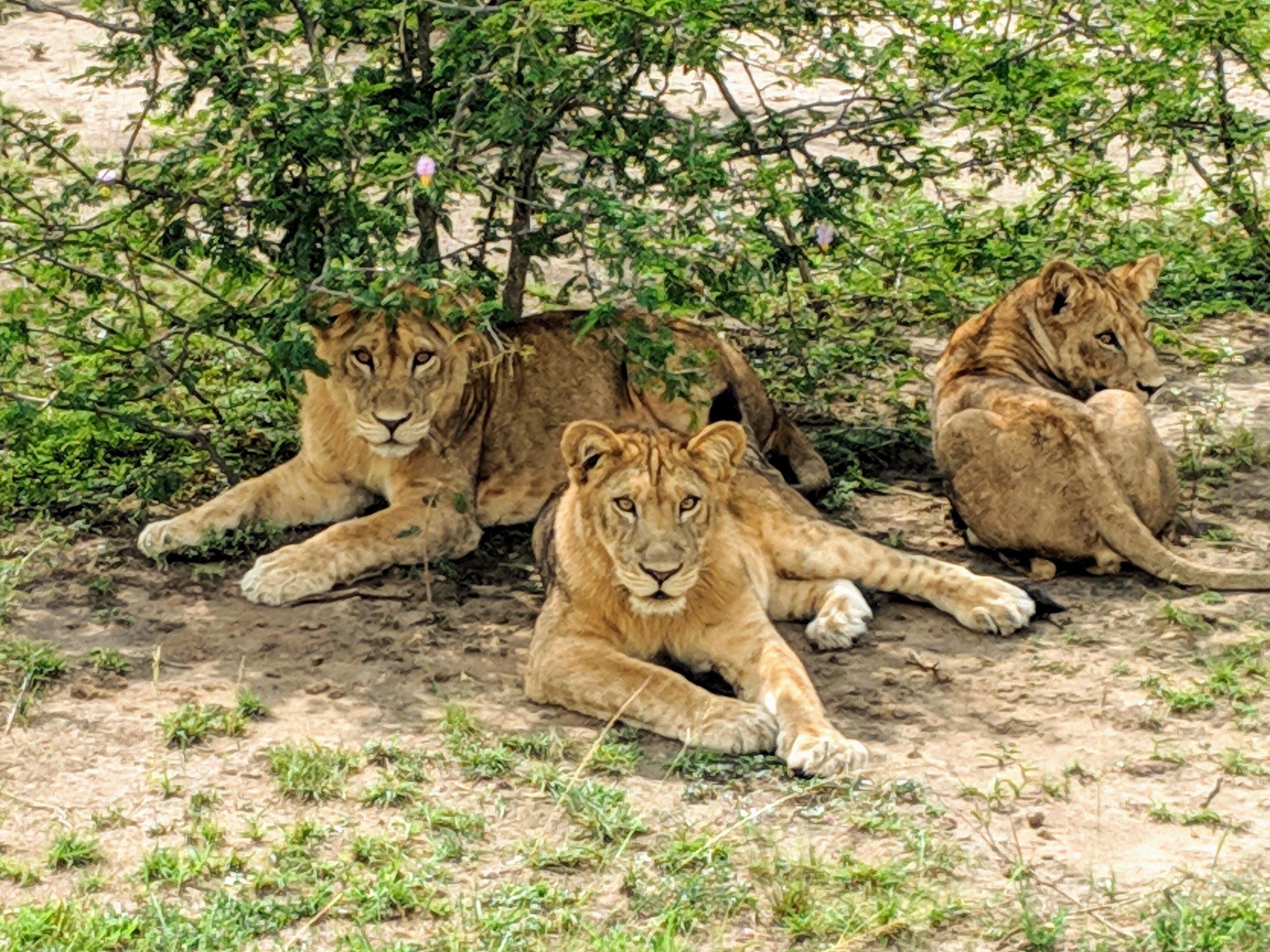 Lions in Queen Elizabeth National Park. Photographer: Elisabeth Engl