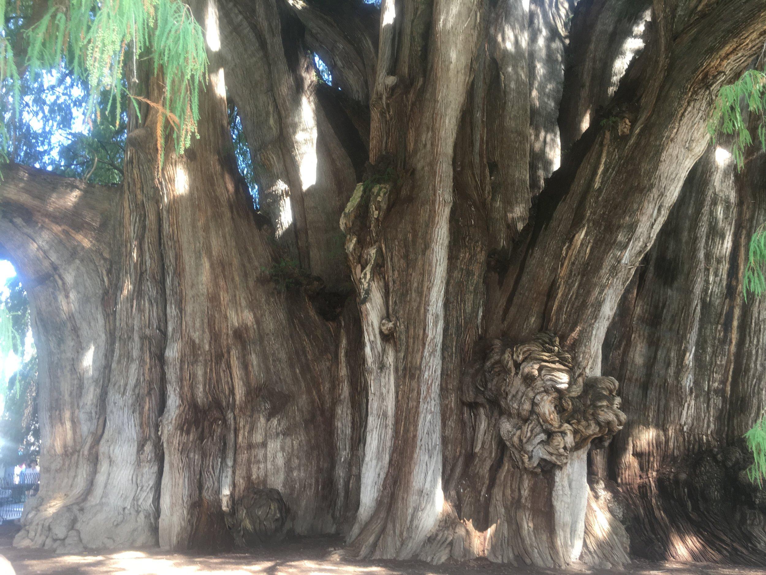 Giant Tule Tree