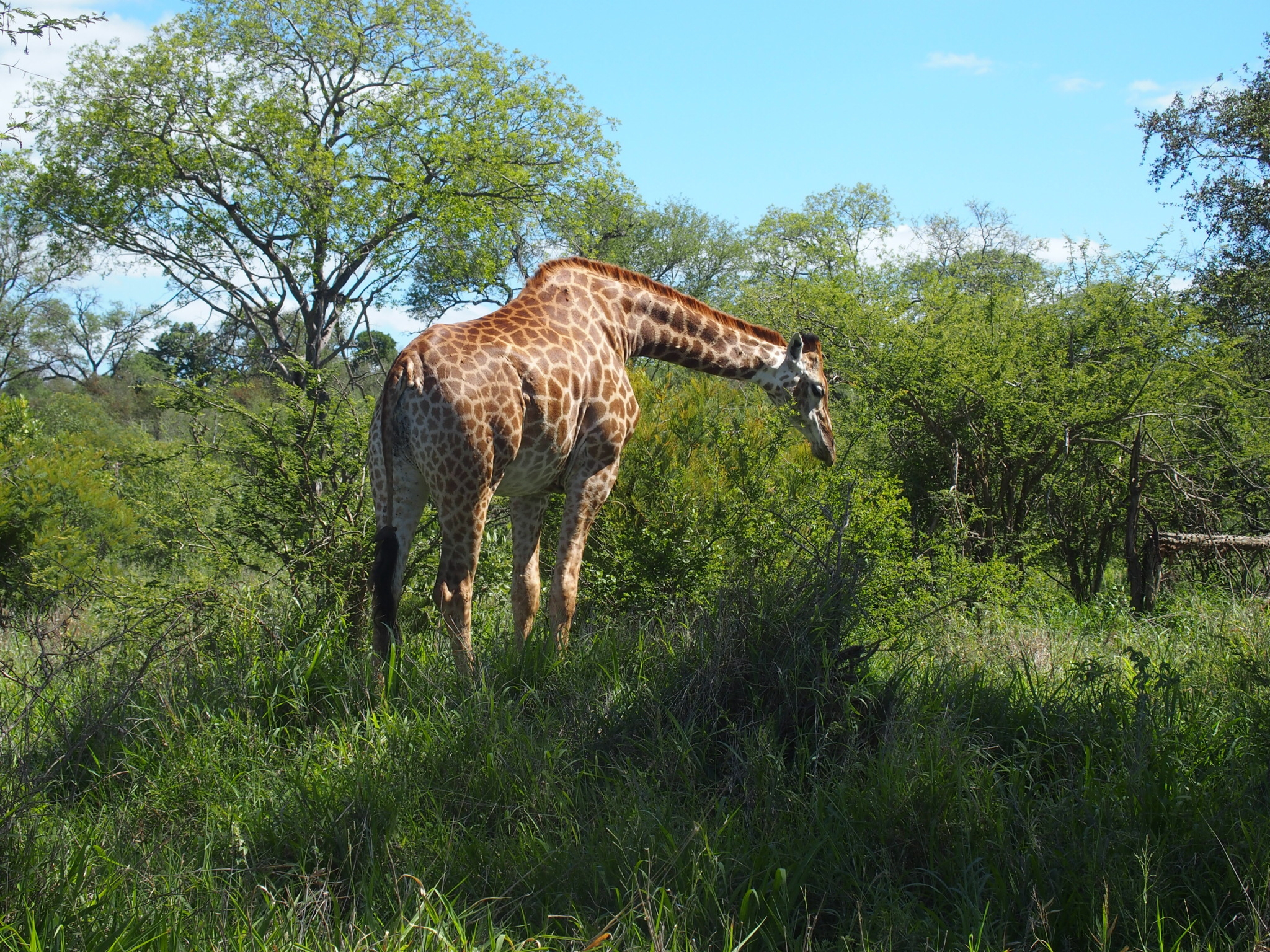 Giraffes are as graceful as one might imagine.