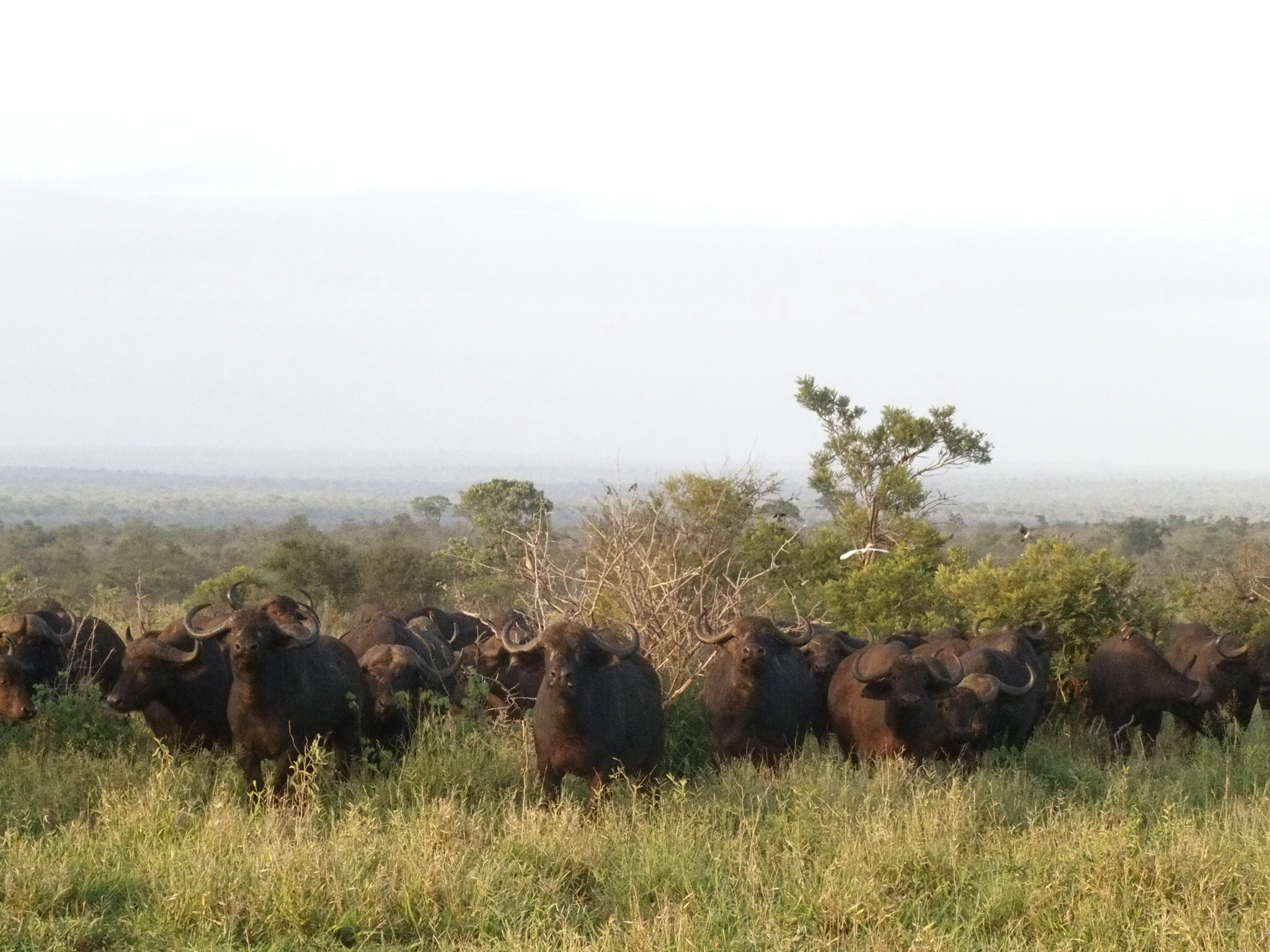 On a morning walk, led by two guides, our herd of humans came face to face with a herd of buffalo