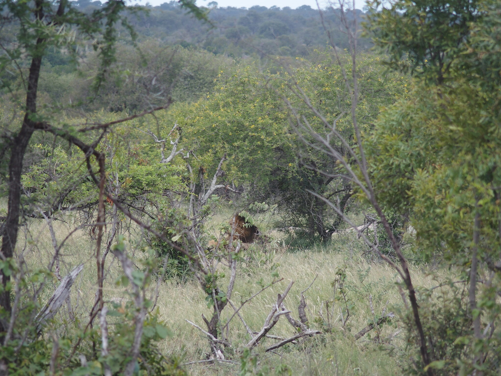 That dark fluff is a lion. We were desperate for a lion sighting, so we paid someone to stage that one (not really).
