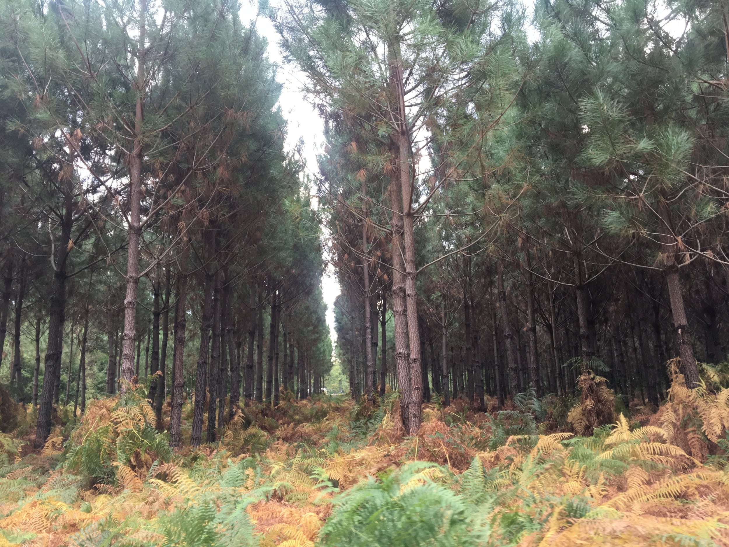 The signature maritime pine of the Landes Forest.