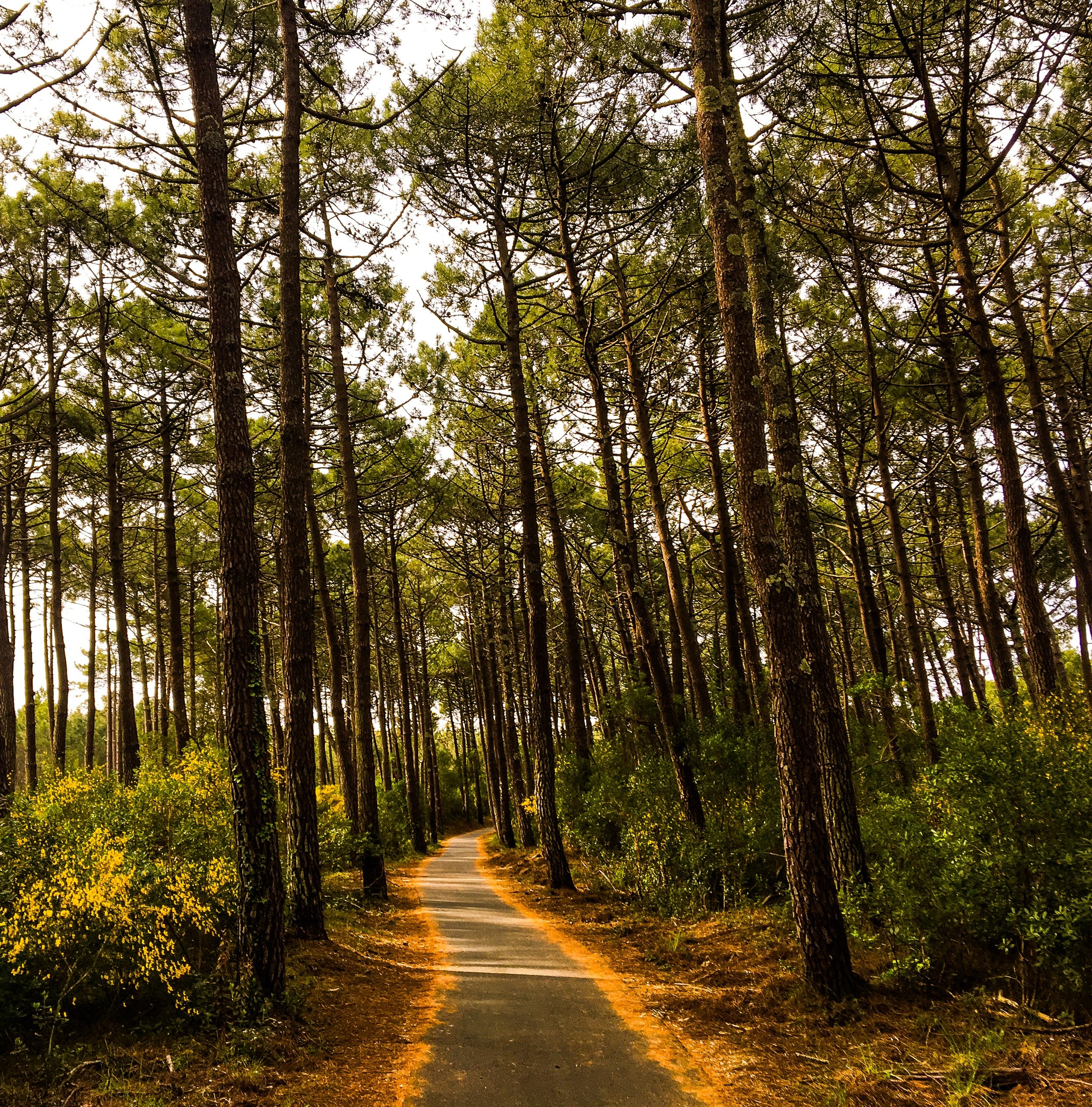 the Landes pine forest