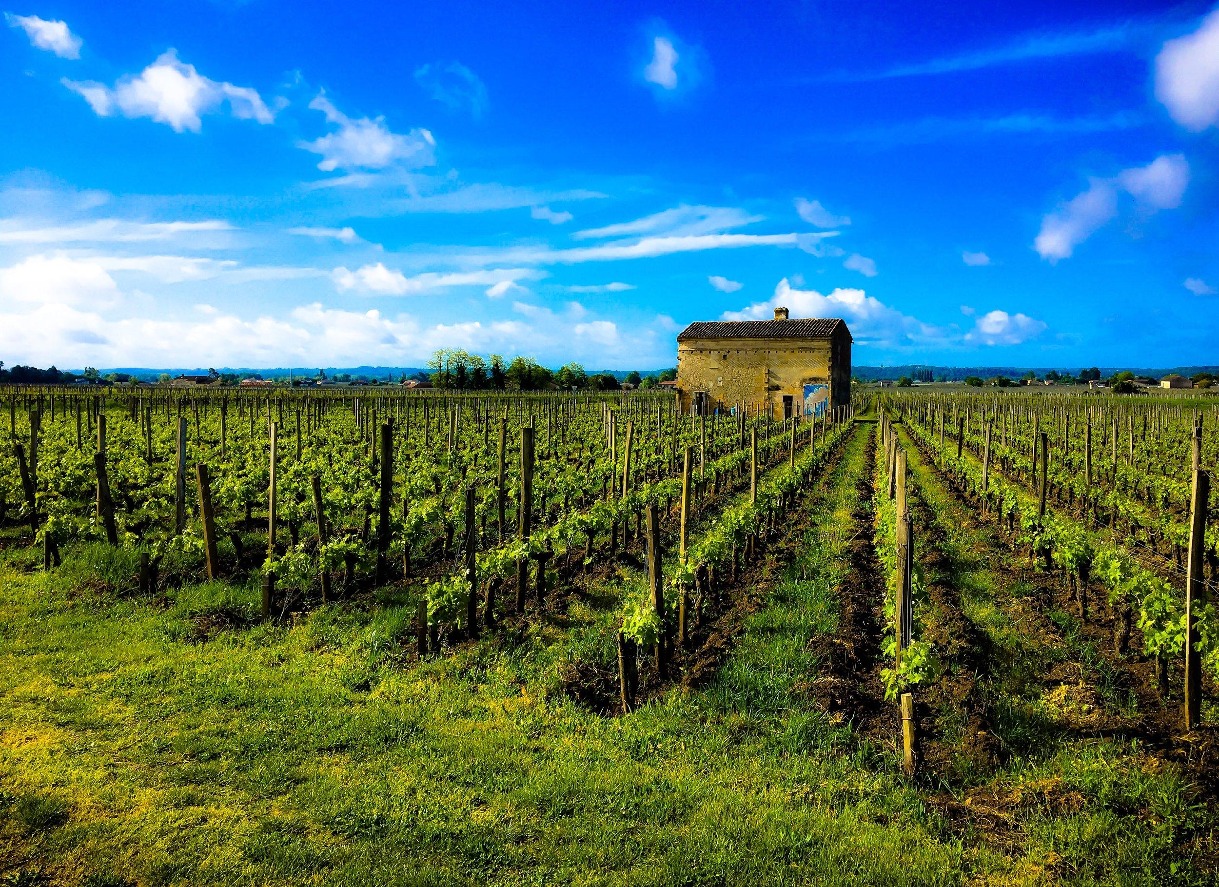 A vineyard in Saint-Émilion