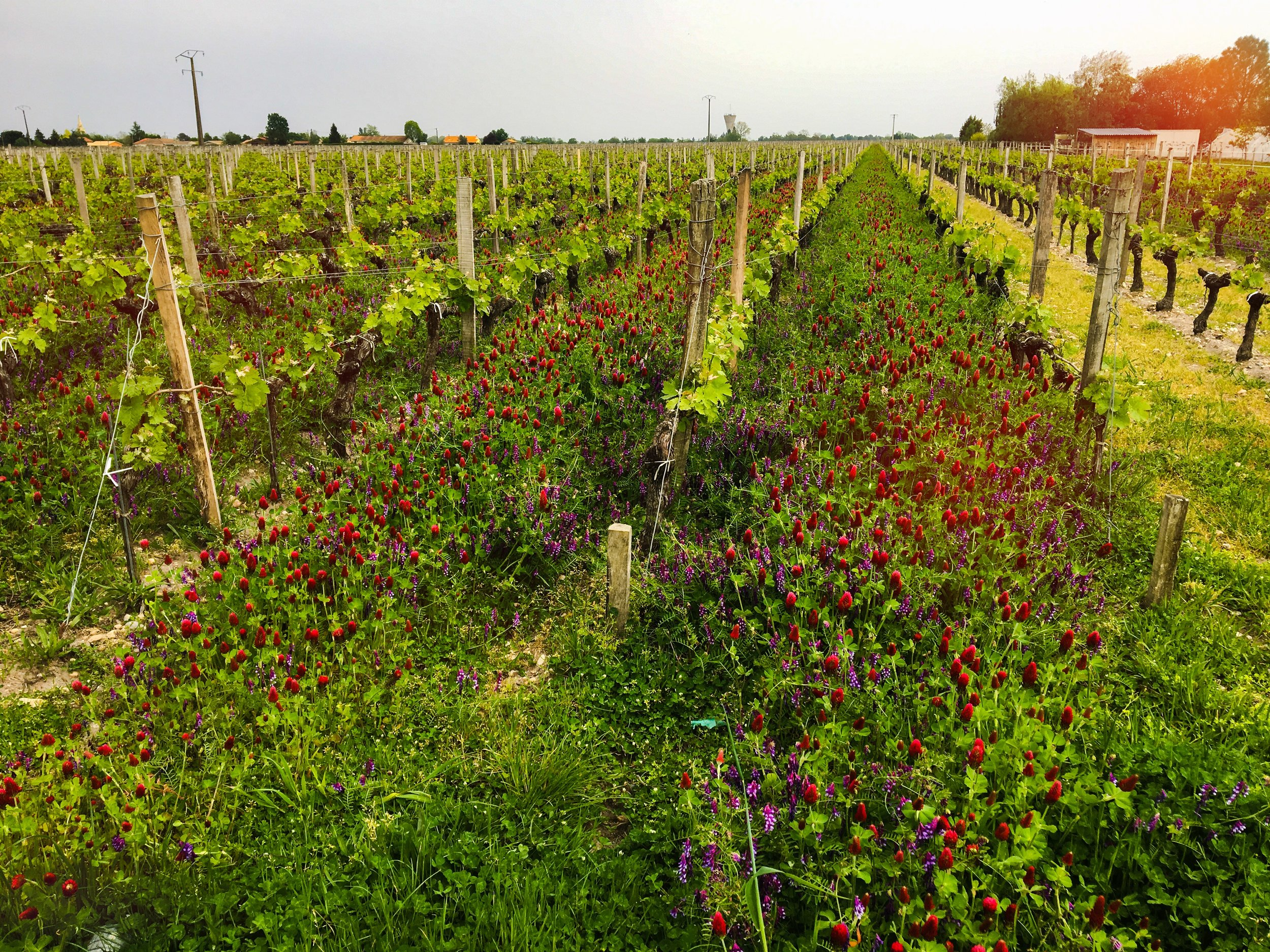 A vineyard with spring flowers along the route to Saint-Émilion