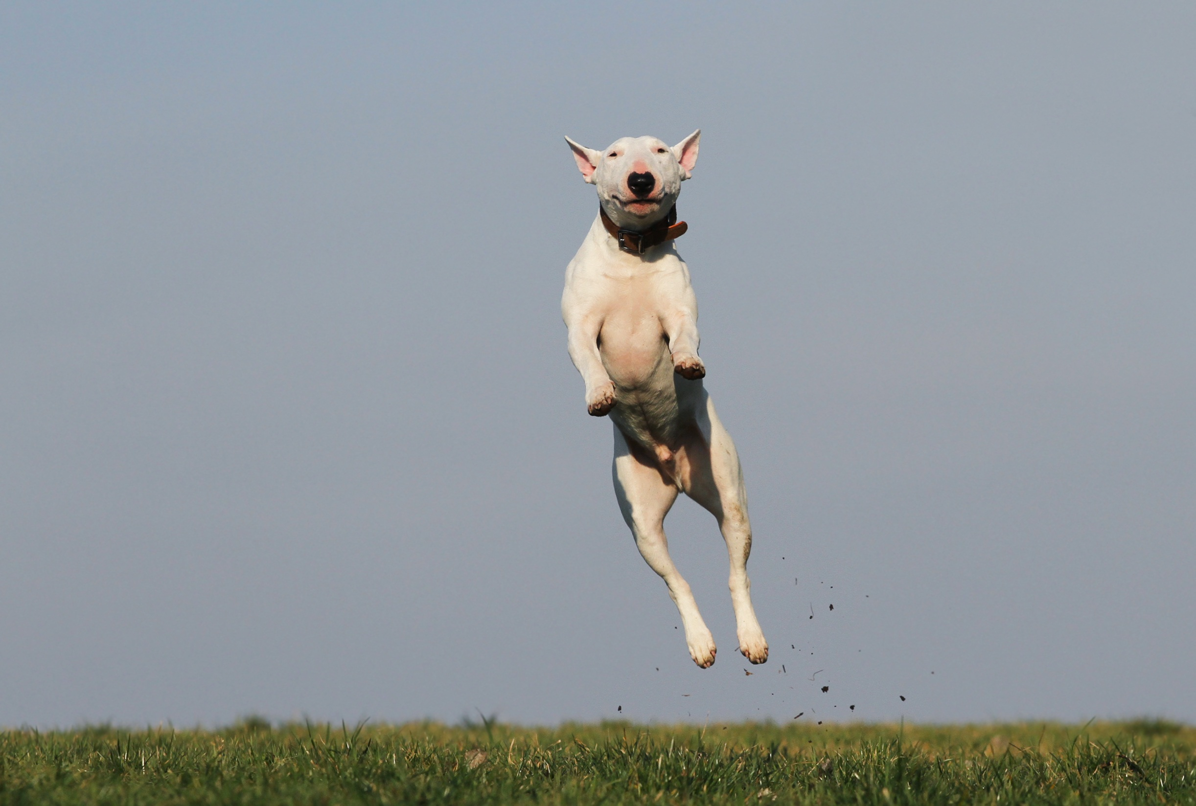 jack-russell-jumping.jpeg