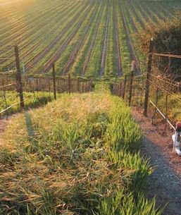 babcock-vineyard-2011-e1432155860206.jpg