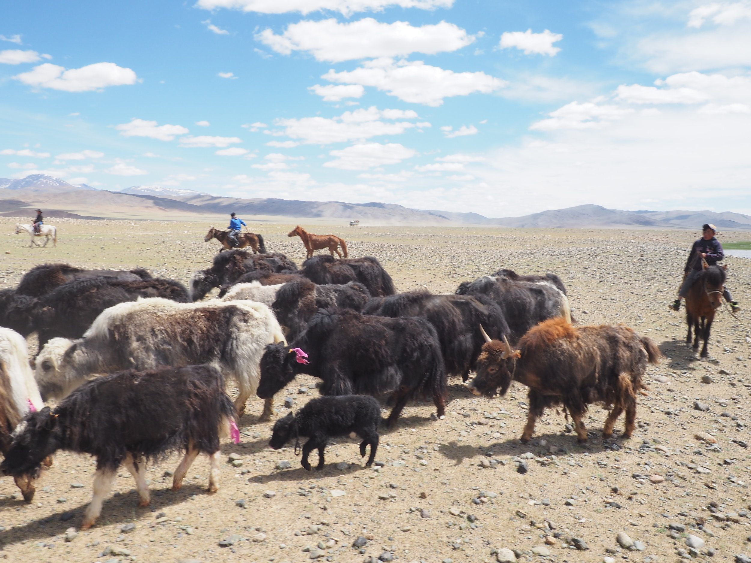 Yaks are very easily distracted