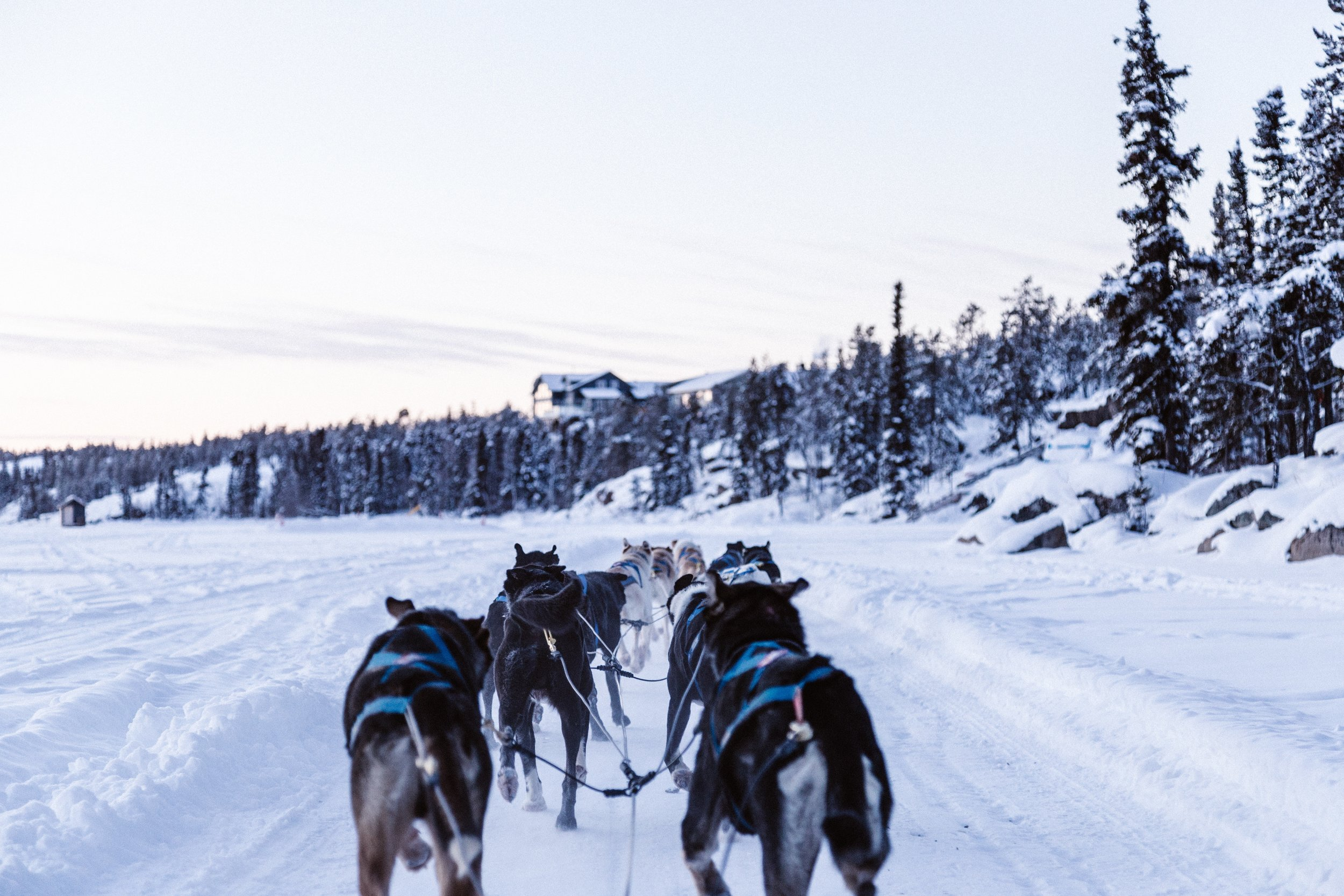 First Person View from the back of a dog sled; a dog sled team is a good example of teamwork in striving to accomplish a goal together