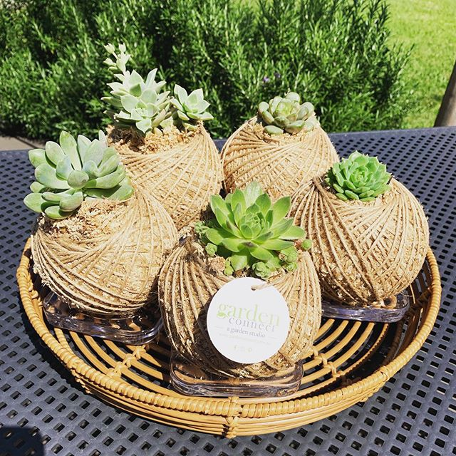 Small succulent Kokedama's  on special at $15 each this week. Available at @ashandoakcollective 😁💚🌸