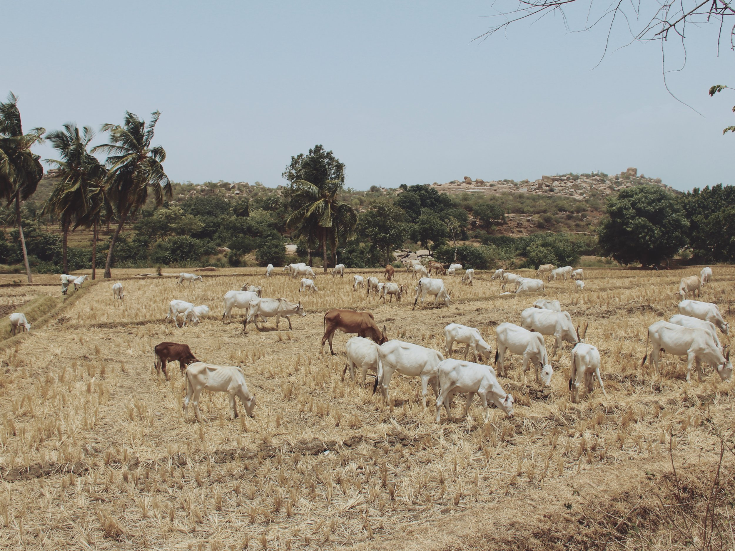 Cows grazing in a field in Hampi.