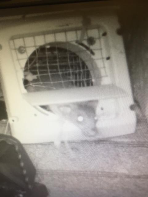 Rat leaving through one-way door