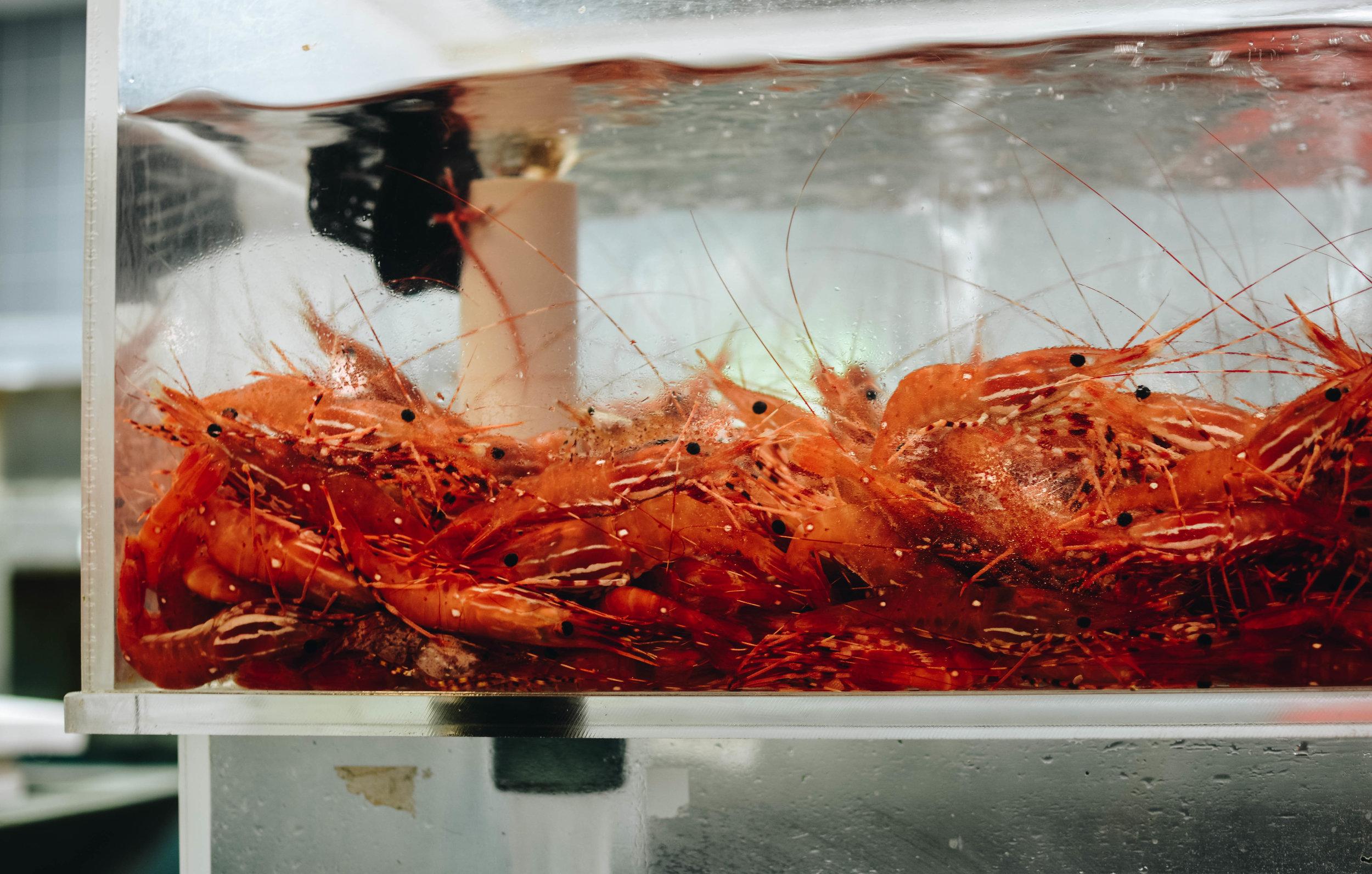 shrimp in tank