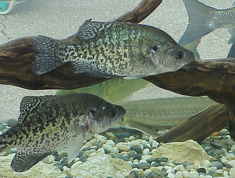 http://www.nwk.usace.army.mil/harryst/gif/crappie.jpg   Harmil~commonswiki