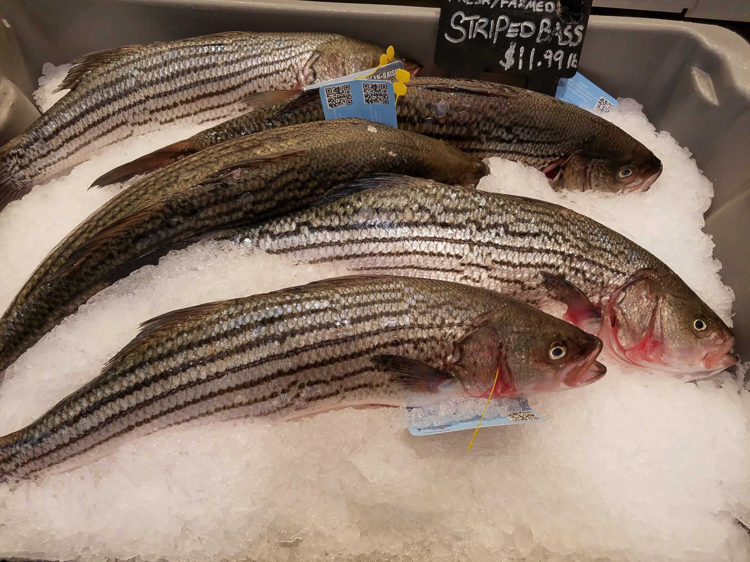 Striped Bass.jpg