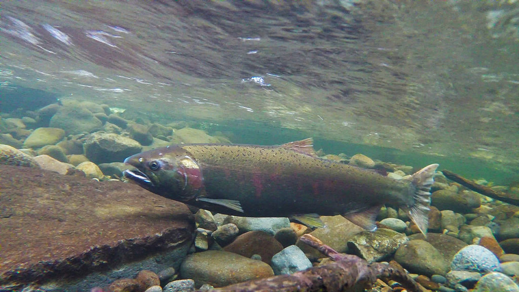 By Bureau of Land Management Oregon and Washington (Coho Spawning on the Salmon River) [CC BY 2.0 (http://creativecommons.org/licenses/by/2.0) or Public domain], via Wikimedia Commons