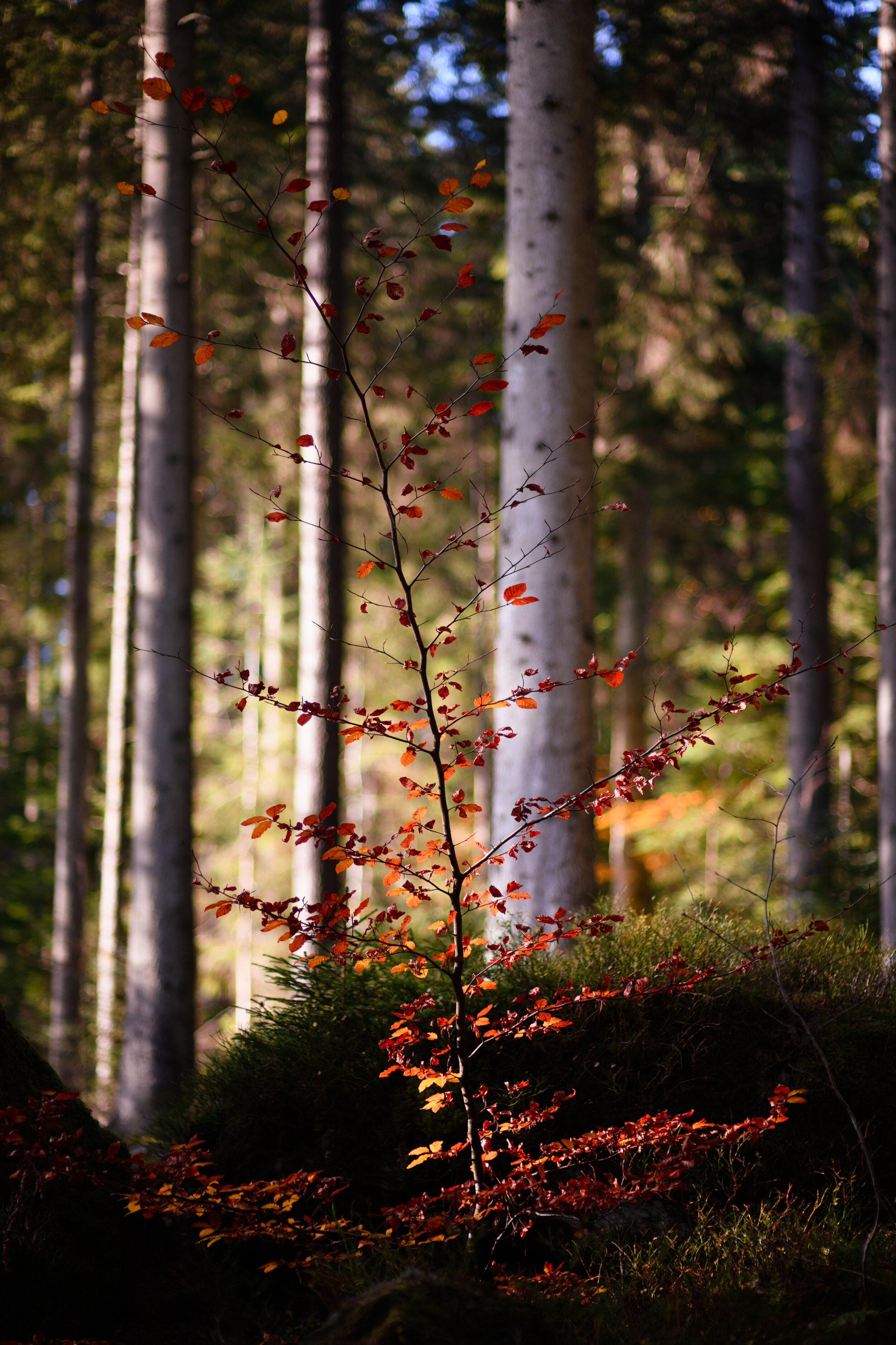 Autumnal_Tree_Hermitage_Scotland.jpg