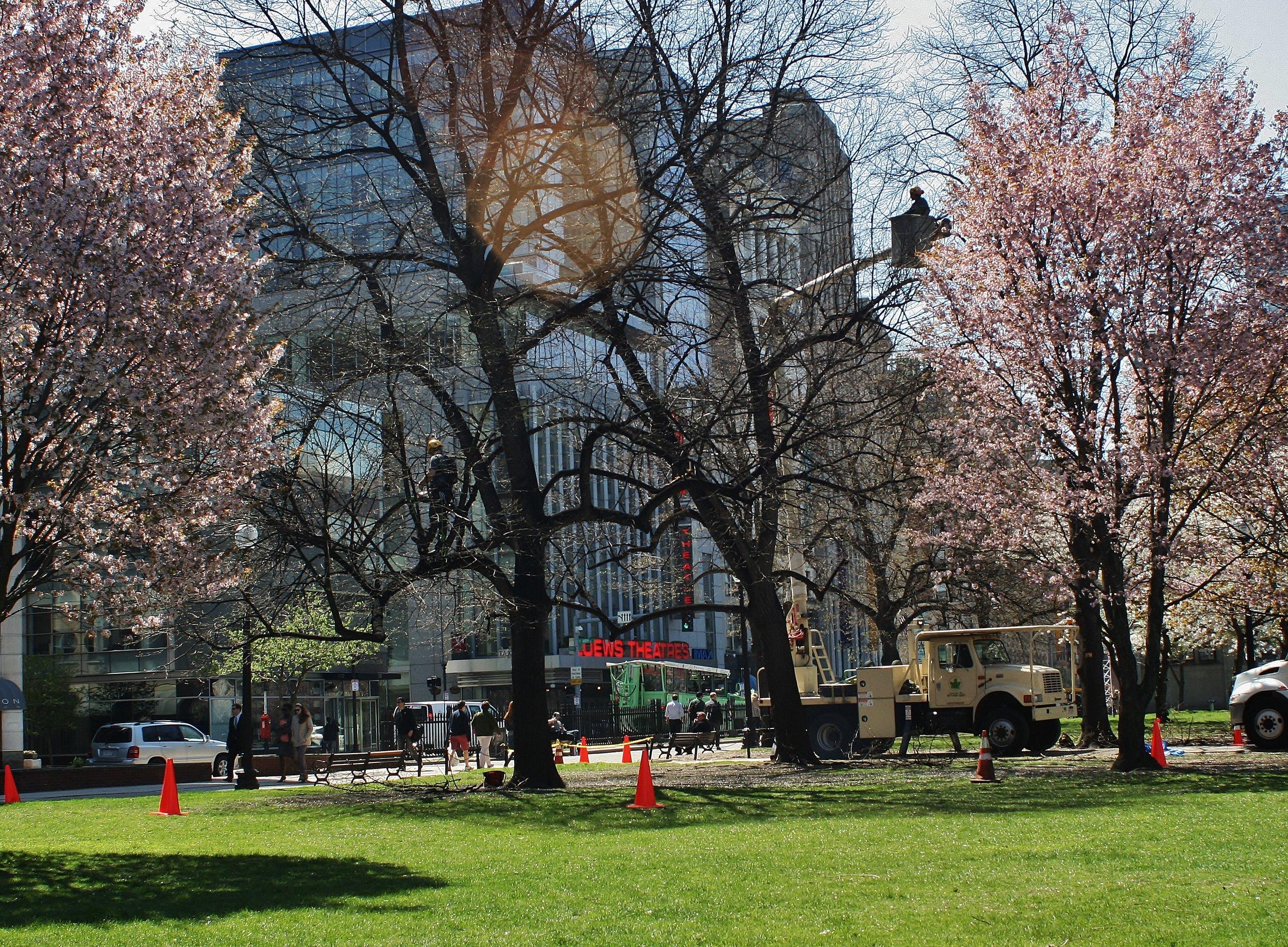 BTSE arborists providing needed tree care services at Boston Common.