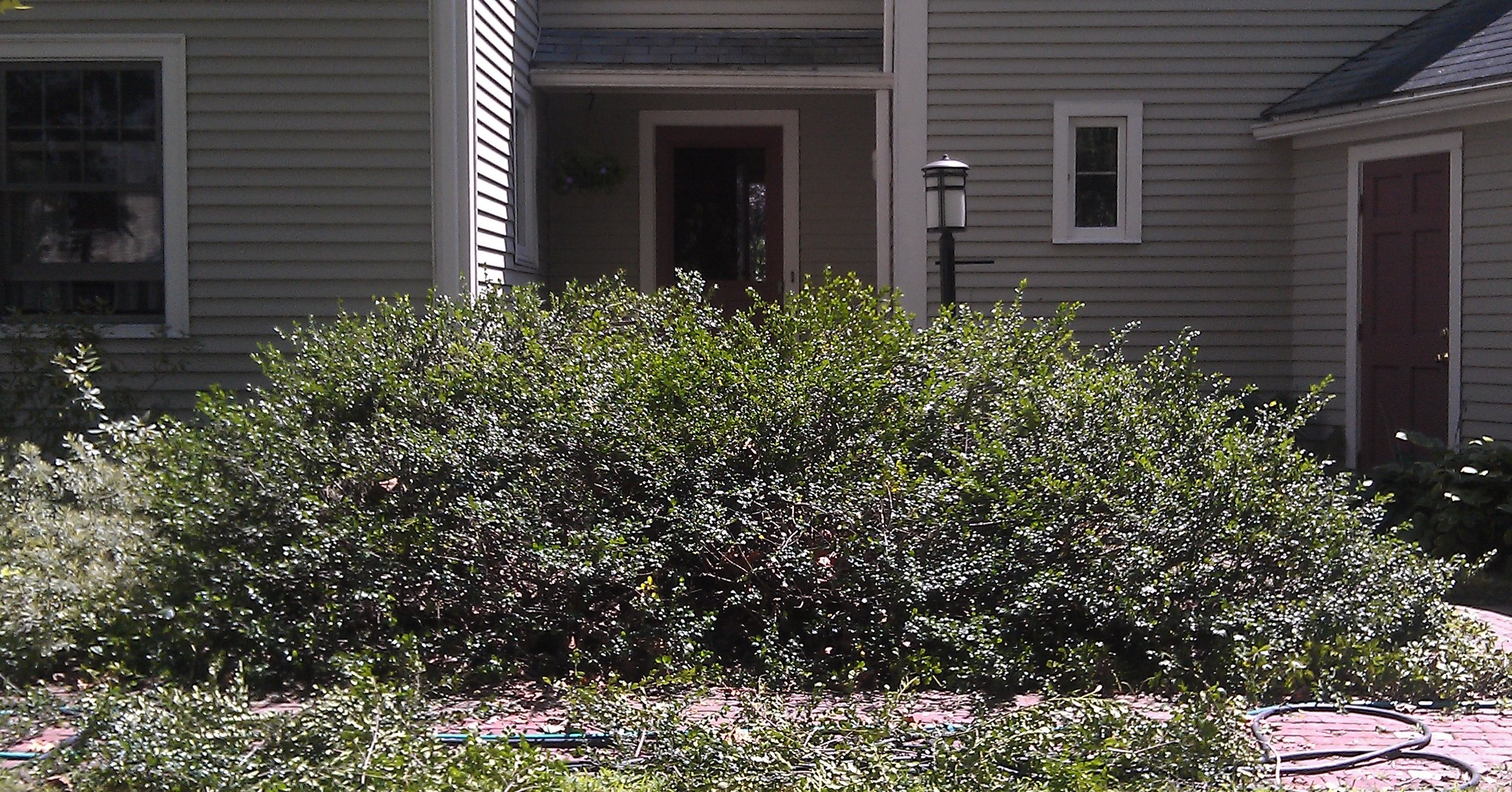 Natural pruning removes long branches inside the the shrub while promoting a neat, contained appearance.