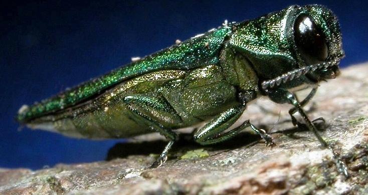 A close up emerald-green metallic beetle, Emerald Ash Borer (bugwood.org)