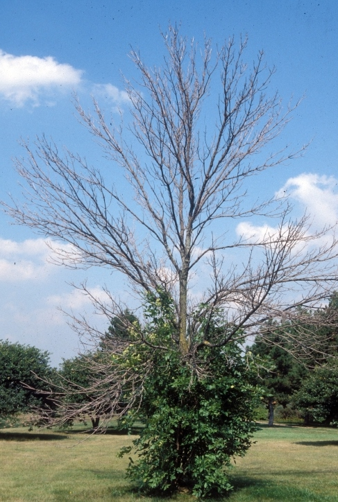 EAB causes upper dieback and trunk sprouting (image: bugwood.org)