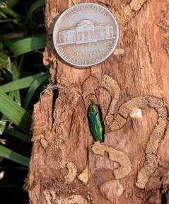 The emerald ash borer is smaller than a nickel (forestryimages.org)